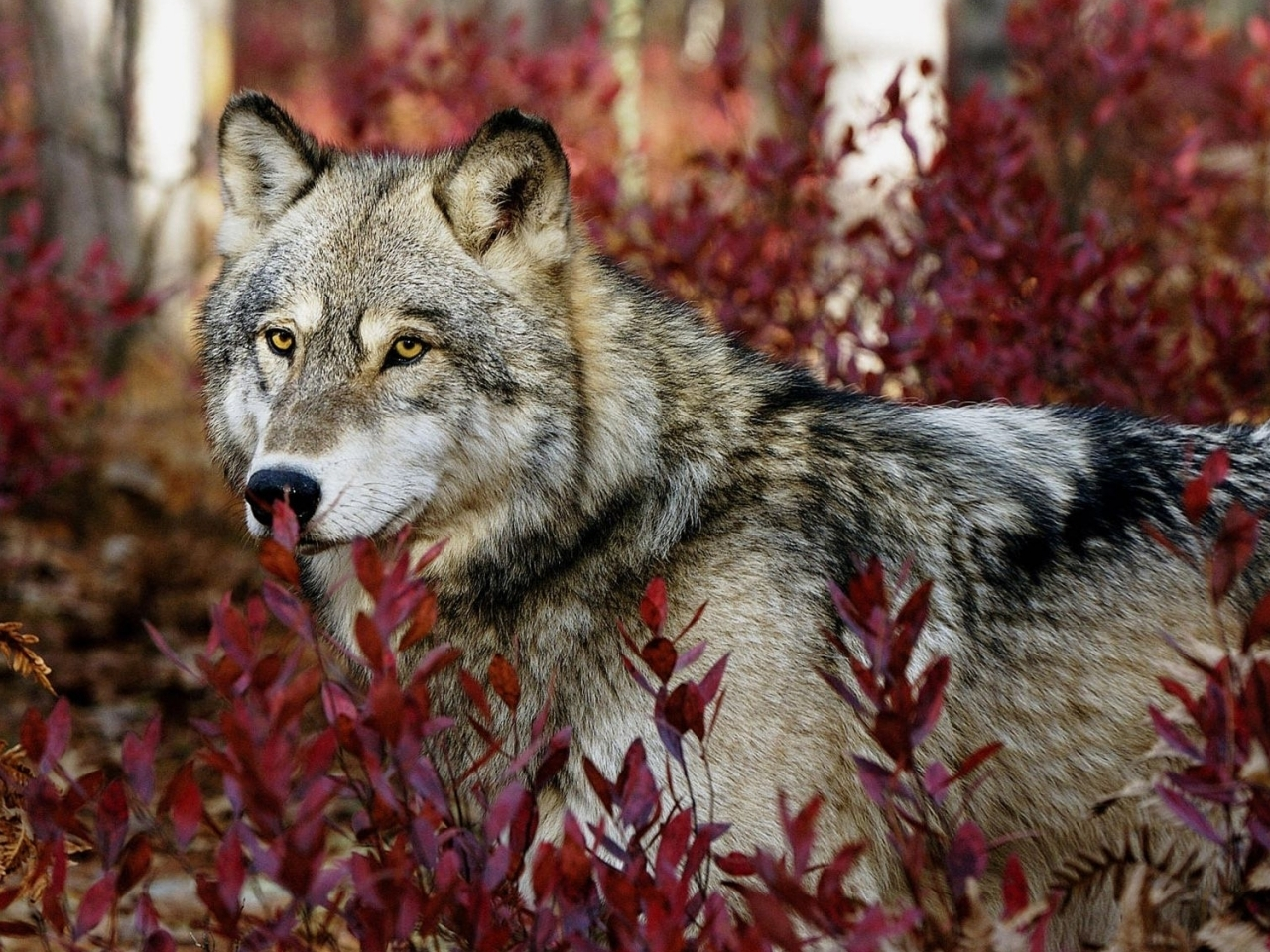 43512 download wallpaper Animals, Wolfs screensavers and pictures for free