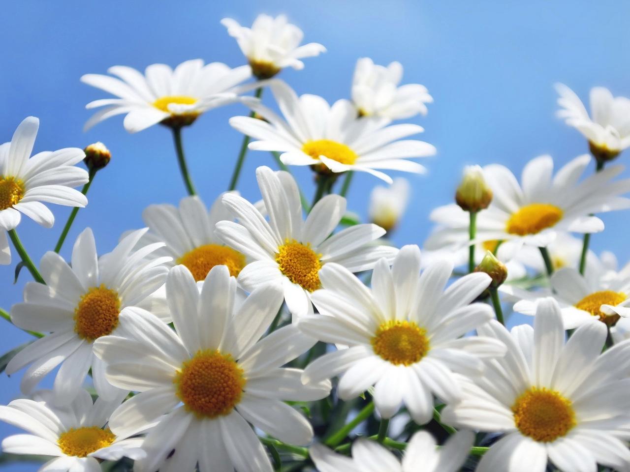 33657 скачать обои Цветы, Ромашки, Растения - заставки и картинки бесплатно