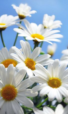 33657 download wallpaper Plants, Flowers, Camomile screensavers and pictures for free