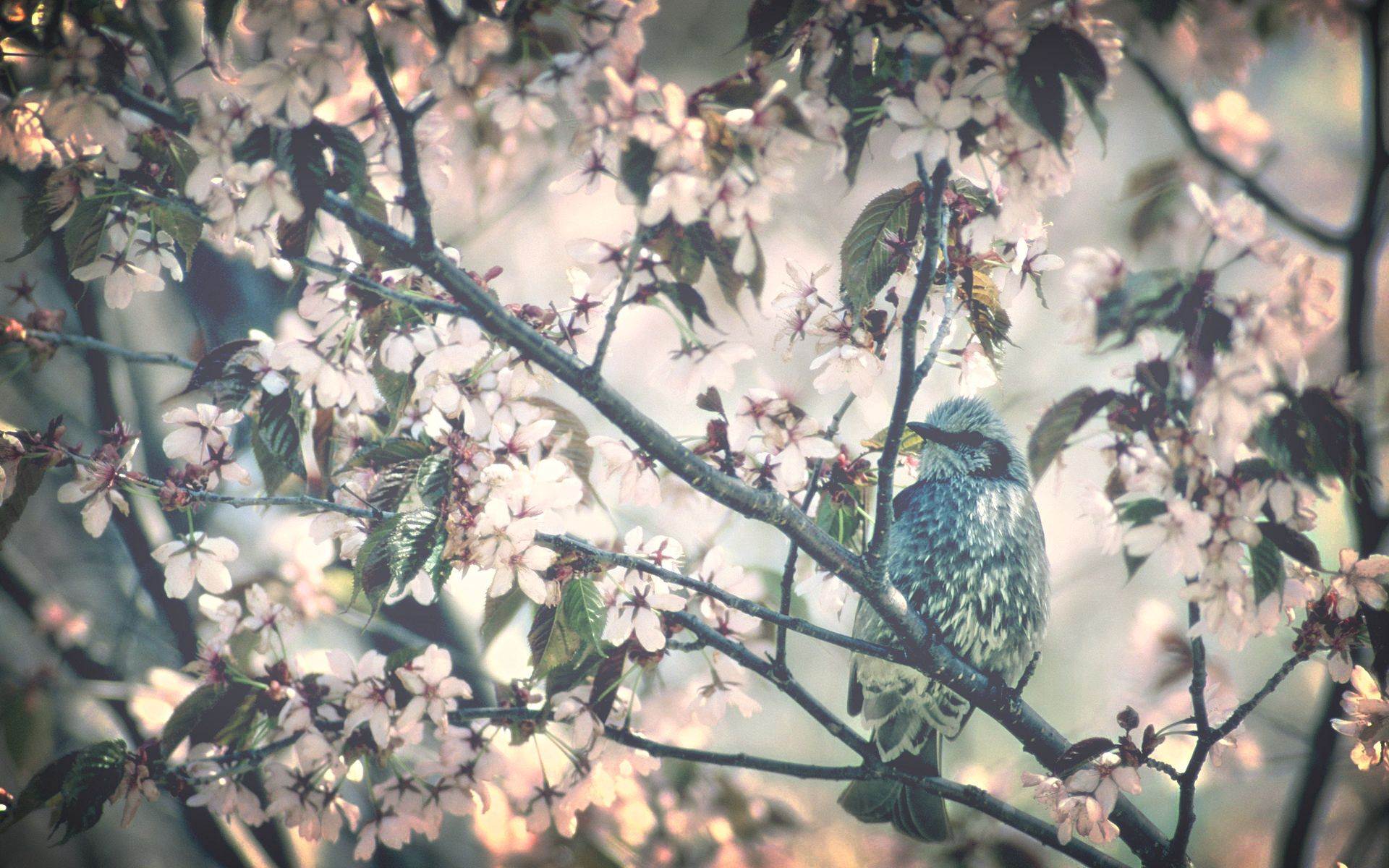 153463 download wallpaper Animals, Bird, Wood, Tree, Branch, Spring, Bloom, Flowering, Flowers screensavers and pictures for free