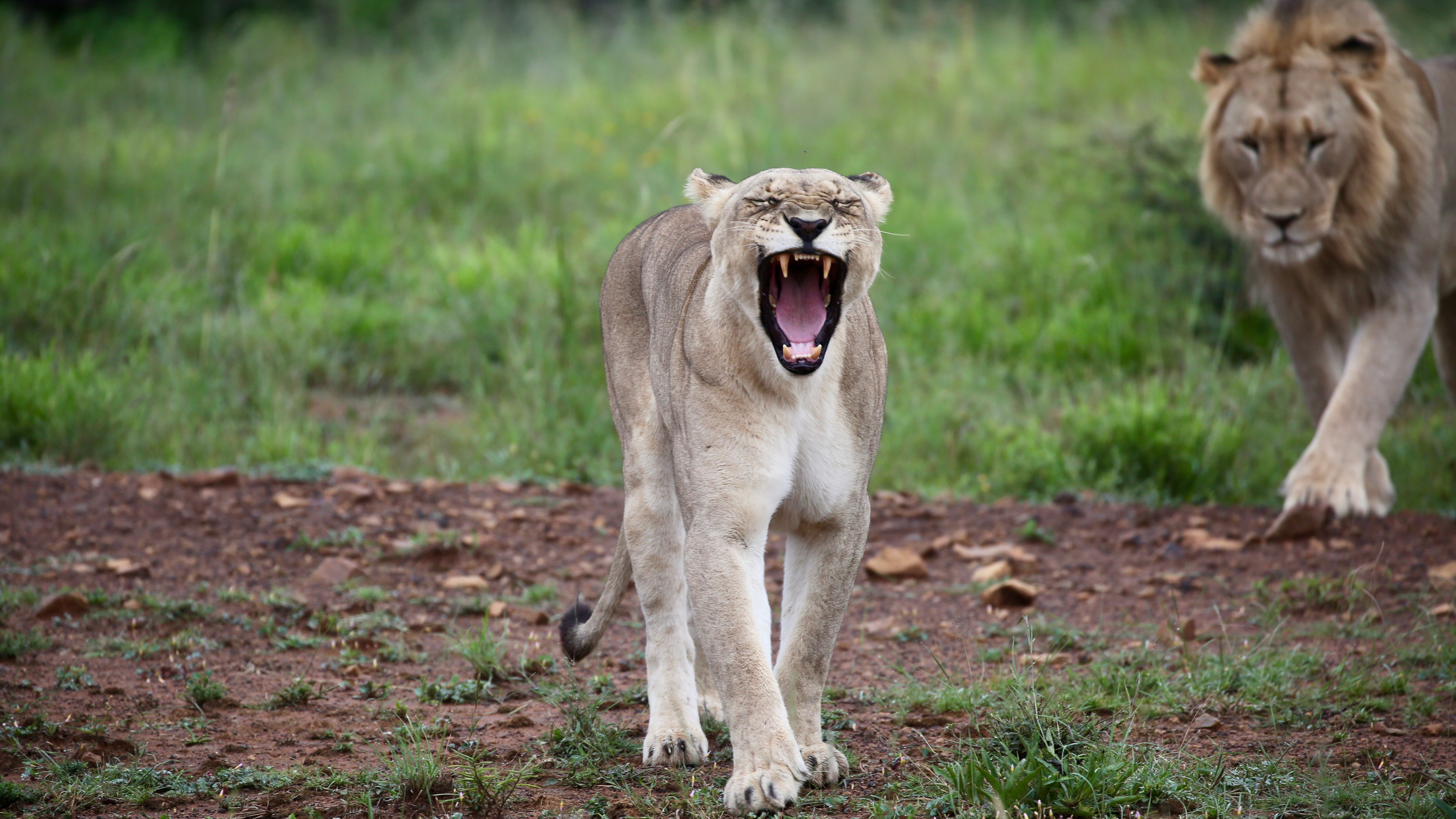 64255 download wallpaper Animals, Lioness, To Fall, Mouth, Fangs, Predator screensavers and pictures for free
