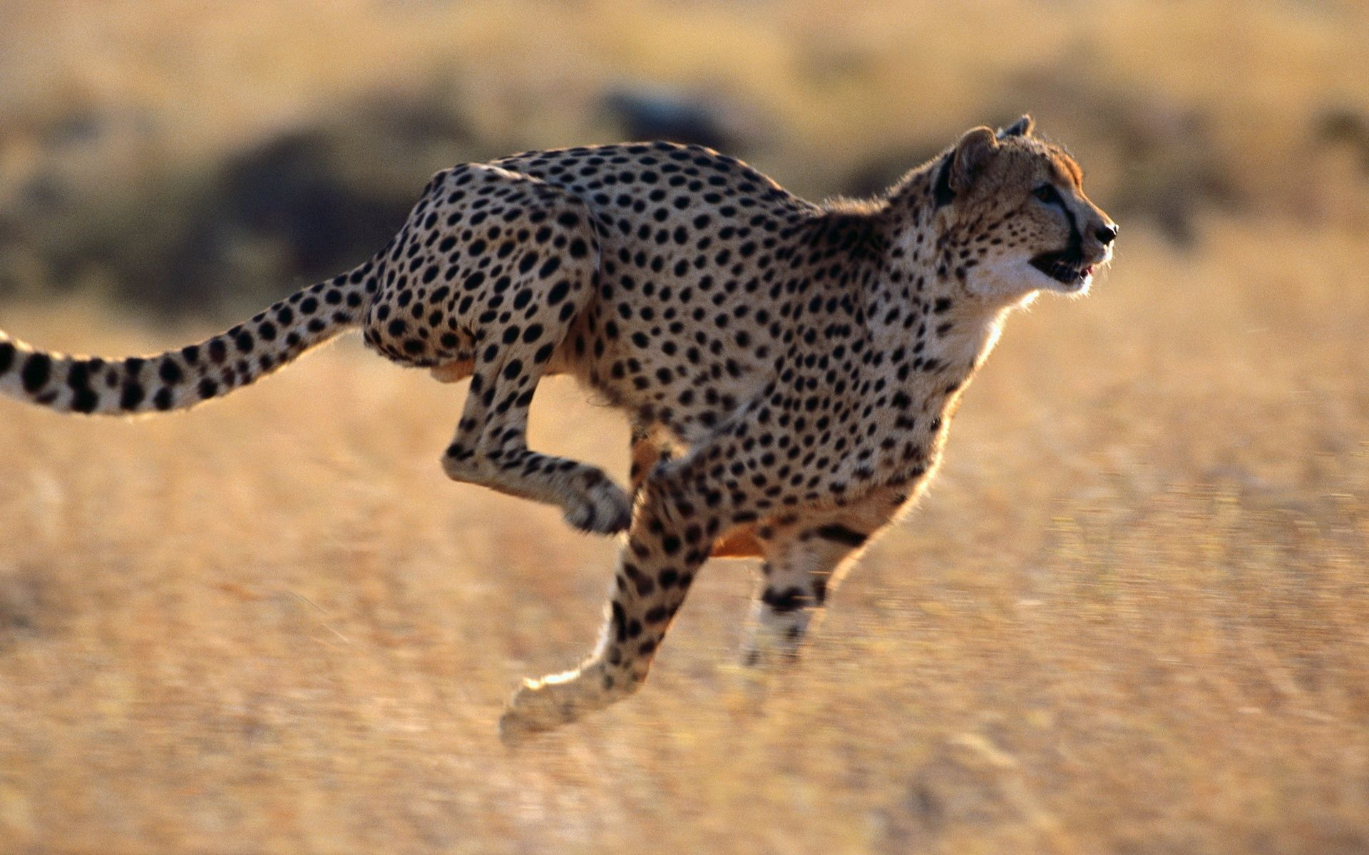 131918 download wallpaper Animals, Cheetah, Speed, Run, Running screensavers and pictures for free