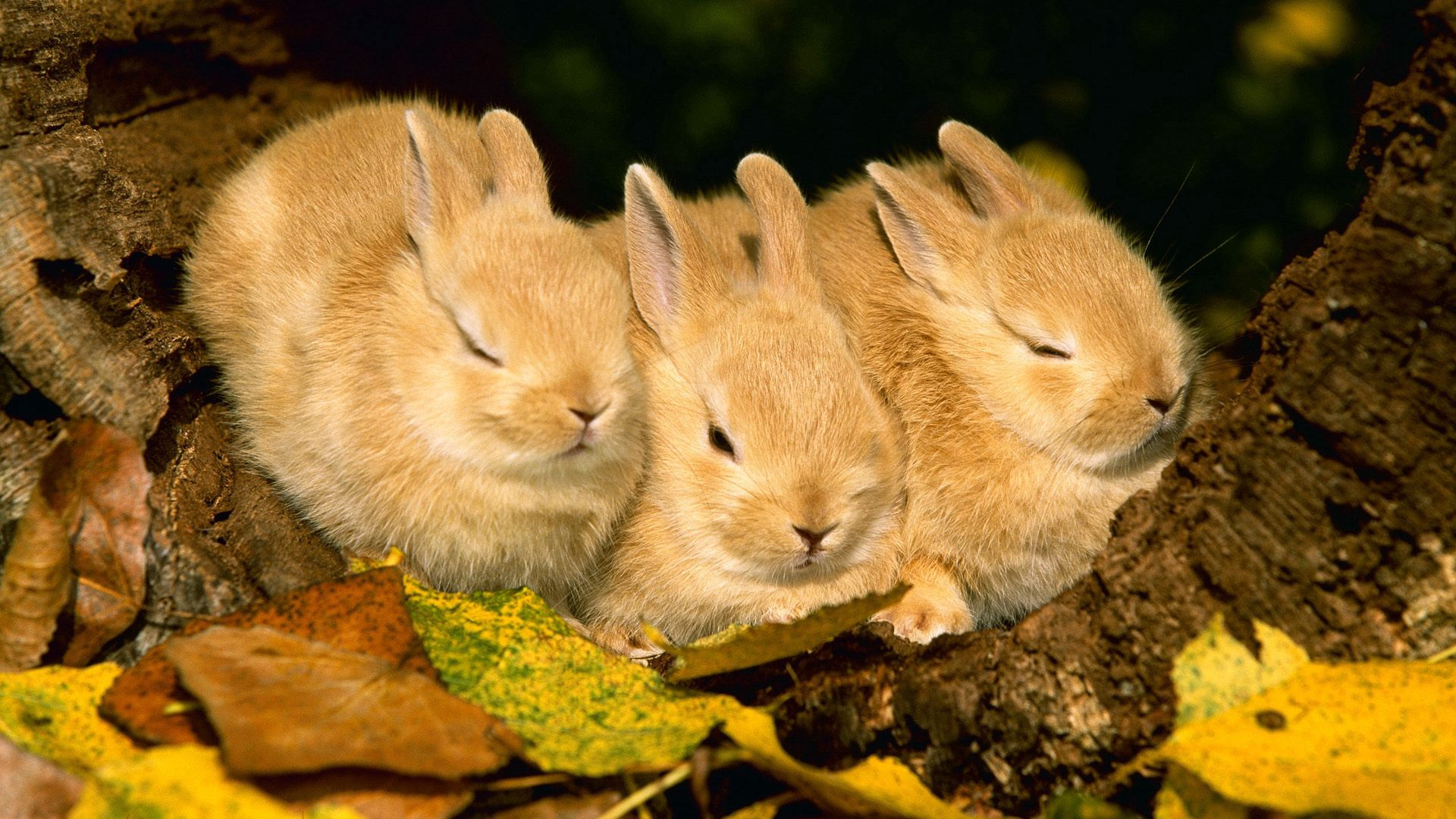 143100 download wallpaper Animals, Rabbits, Sleep, Dream, Three, Cute screensavers and pictures for free