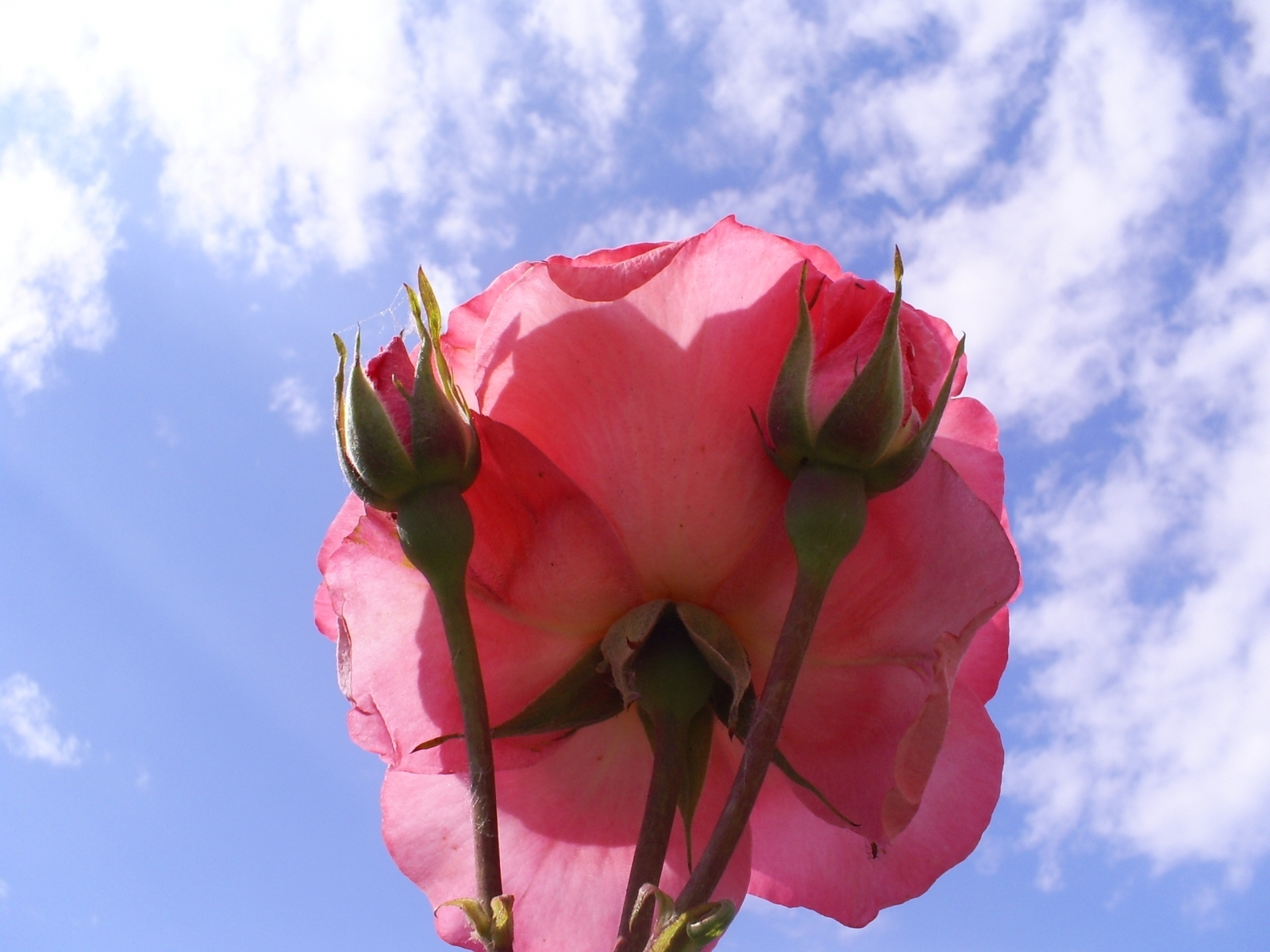 1669 скачать обои Растения, Цветы, Розы - заставки и картинки бесплатно