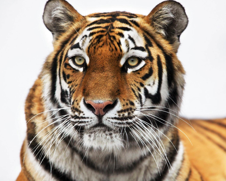11724壁紙のダウンロード動物, 阪神タイガース-スクリーンセーバーと写真を無料で