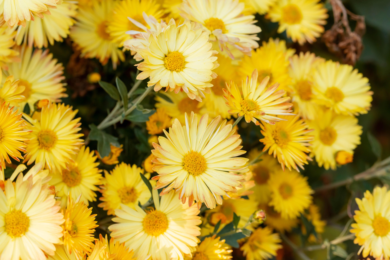 99668 скачать обои Цветы, Желтый, Растение, Цветение, Хризантемы - заставки и картинки бесплатно