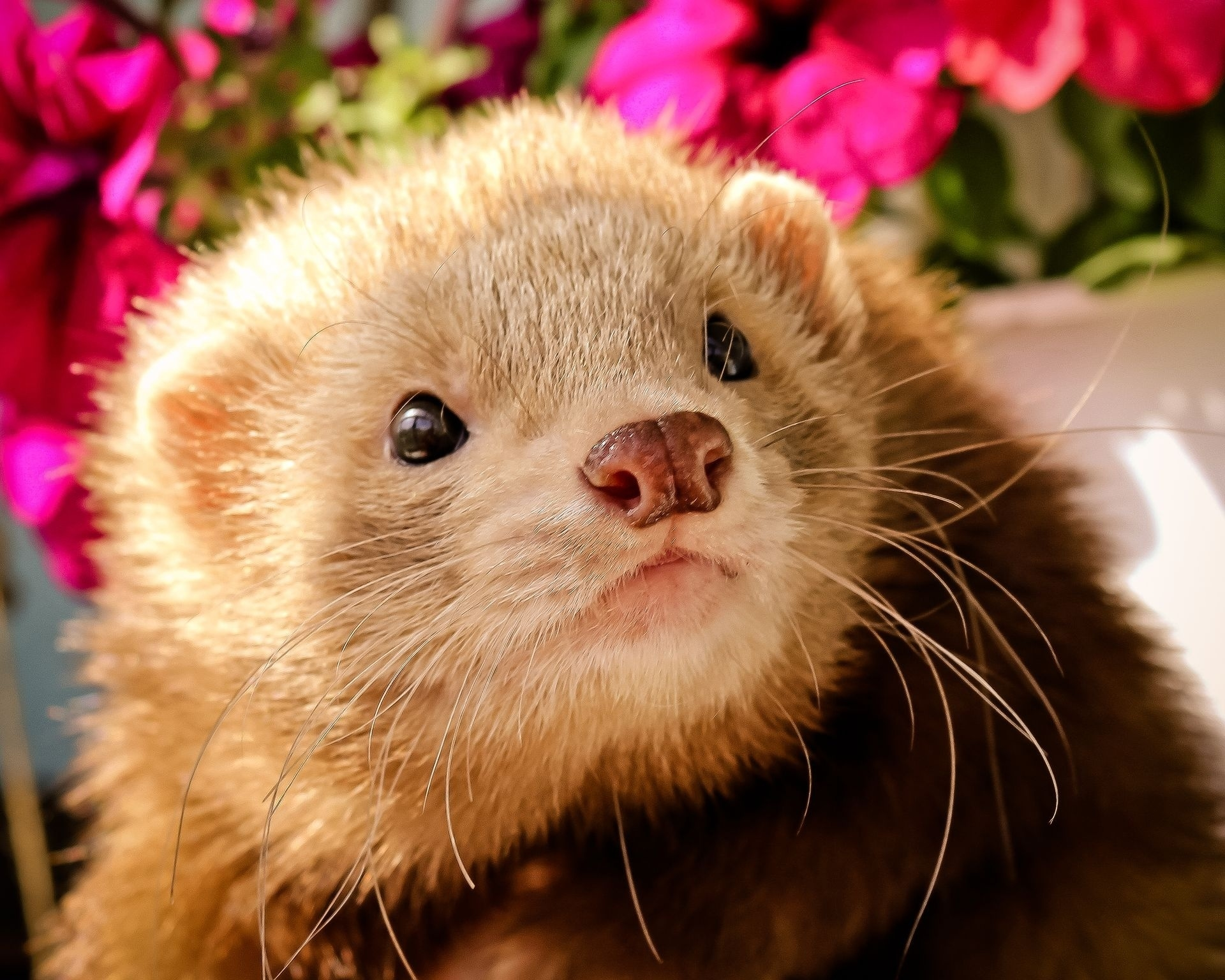 134634 download wallpaper Animals, Ferret, Polecat, Muzzle, Sight, Opinion, Animal screensavers and pictures for free