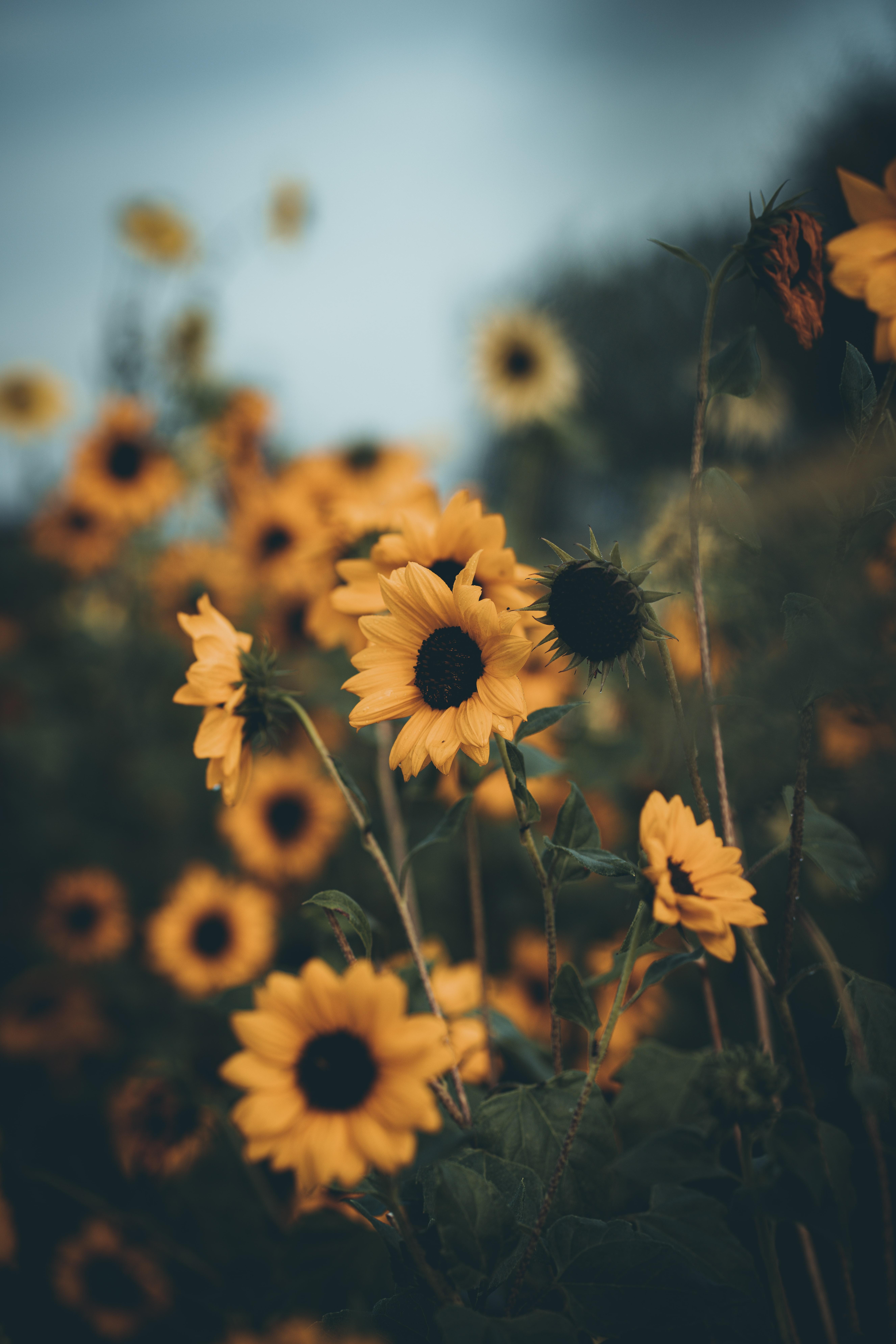 146454 Заставки и Обои Подсолнухи на телефон. Скачать Цветы, Поле, Желтый, Лепестки, Подсолнухи картинки бесплатно
