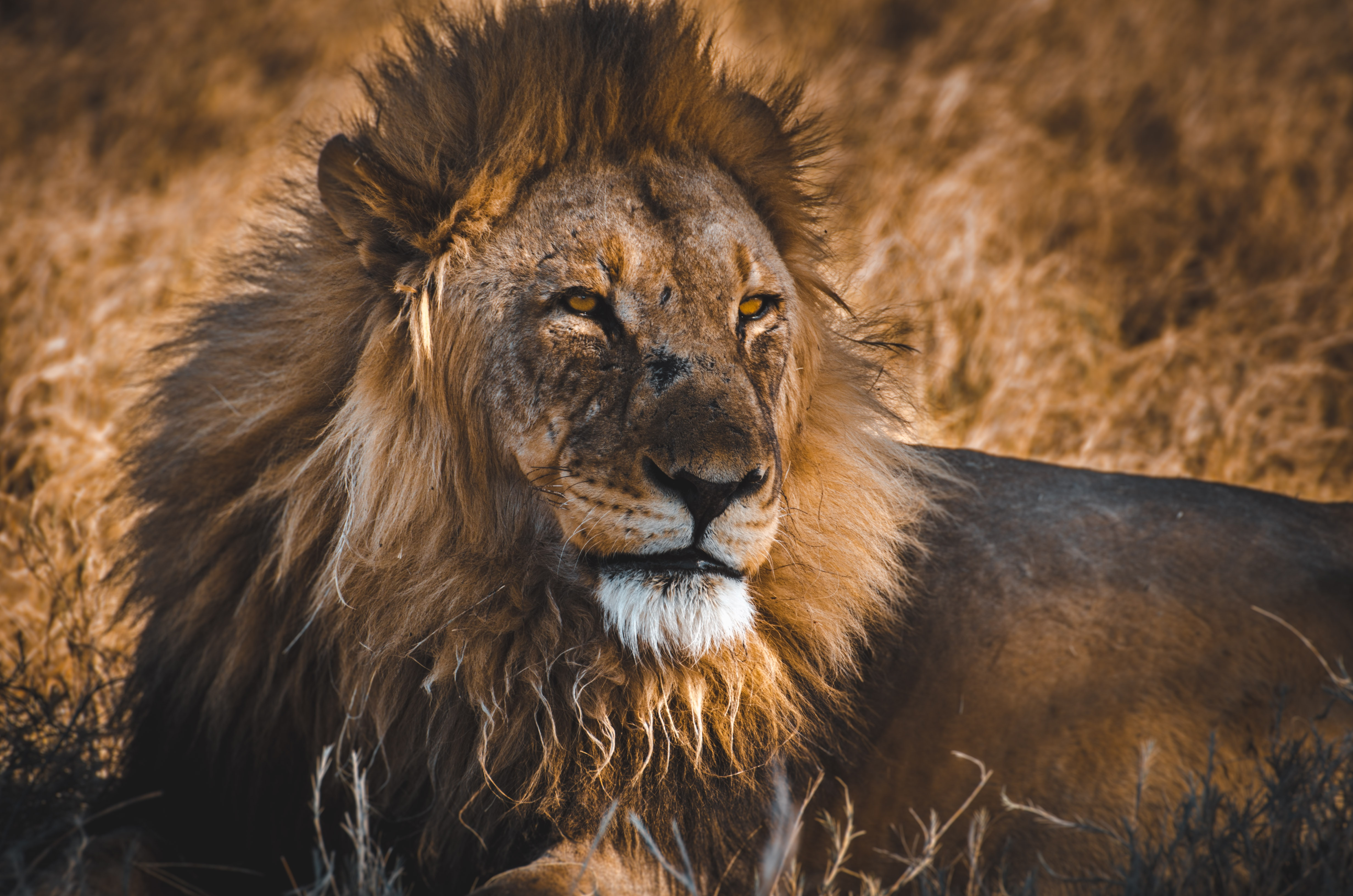 108706 download wallpaper Animals, Lion, Predator, Big Cat, King Of Beasts, King Of The Beasts, Wildlife screensavers and pictures for free