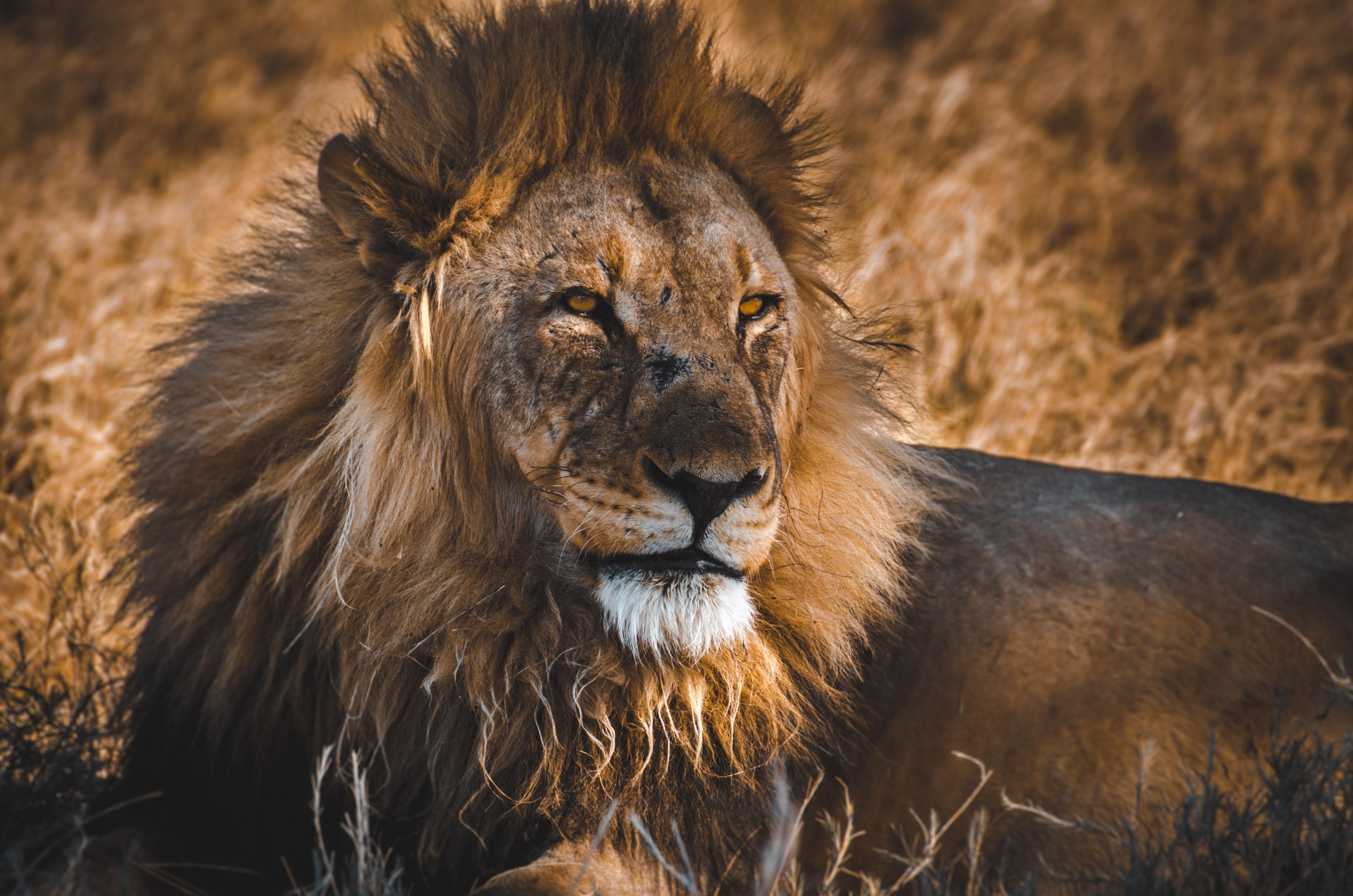 108706 Protetores de tela e papéis de parede Rei Das Feras em seu telefone. Baixe Animais, Leão, Um Leão, Predator, Predador, Gato Grande, Animais Selvagens, Vida Selvagem, Rei Das Feras, Rei Das Bestas fotos gratuitamente