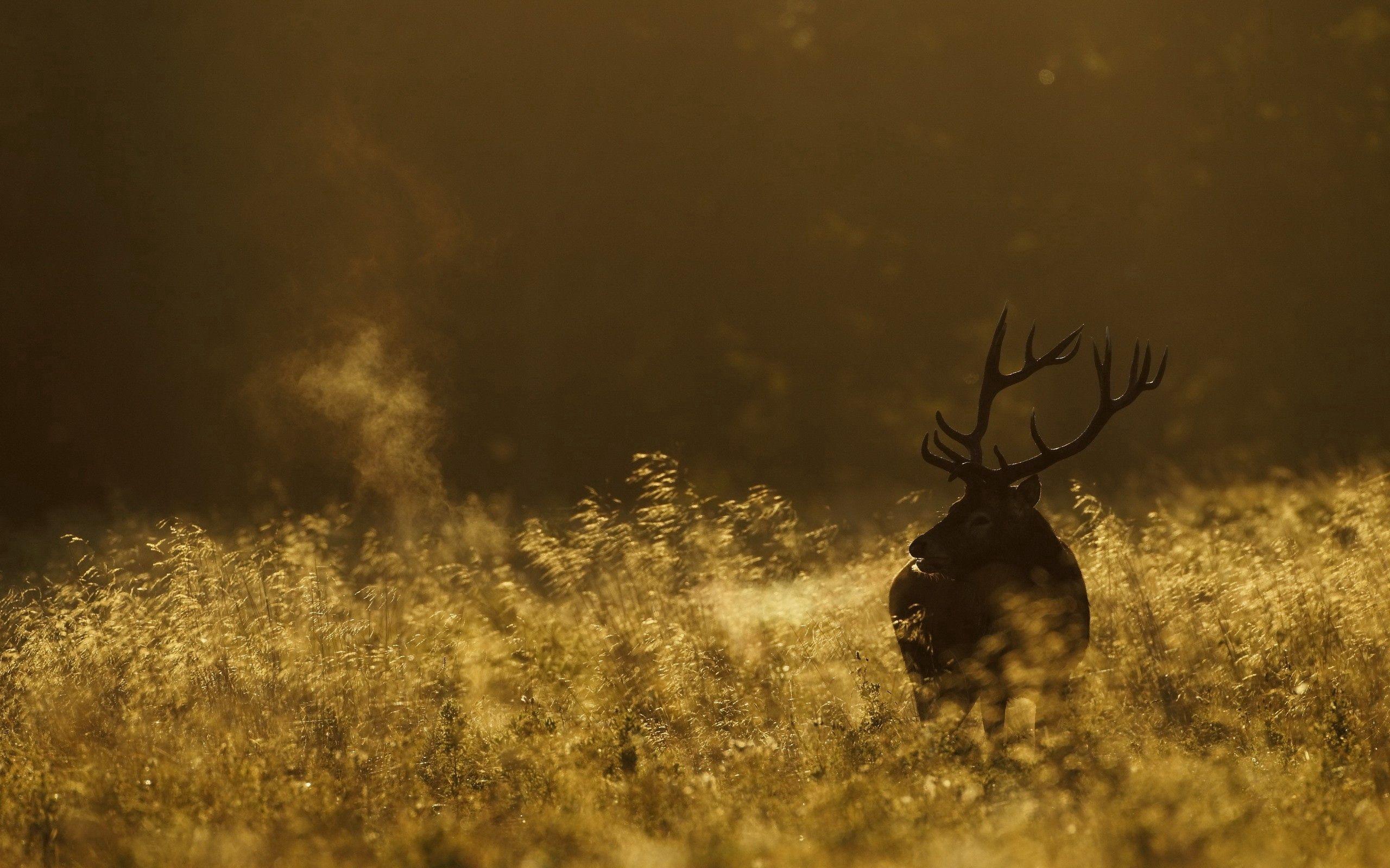55347 Hintergrundbild herunterladen Tiere, Grass, Dunkel, Feld, Bummel, Spaziergang, Hirsch - Bildschirmschoner und Bilder kostenlos