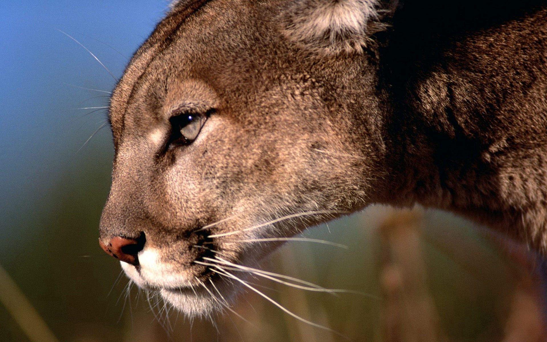 155289 скачать обои Животные, Пумы, Хищник, Морда, Профиль, Большая Кошка - заставки и картинки бесплатно