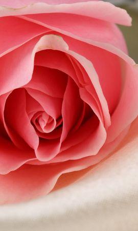 41747 descargar fondo de pantalla Plantas, Flores, Roses: protectores de pantalla e imágenes gratis