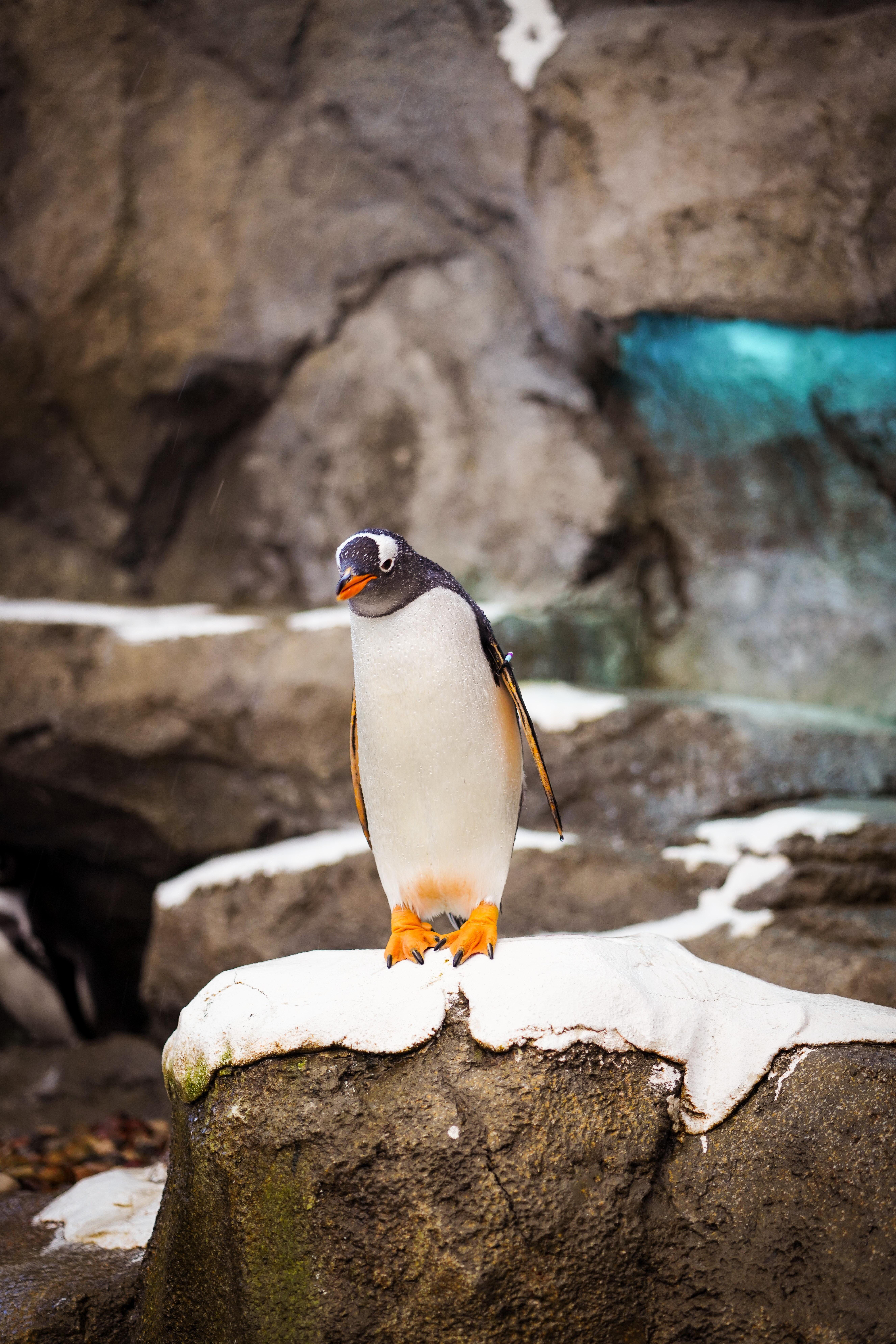 83801 скачать обои Животные, Пингвин, Птица, Камень, Дикая Природа - заставки и картинки бесплатно