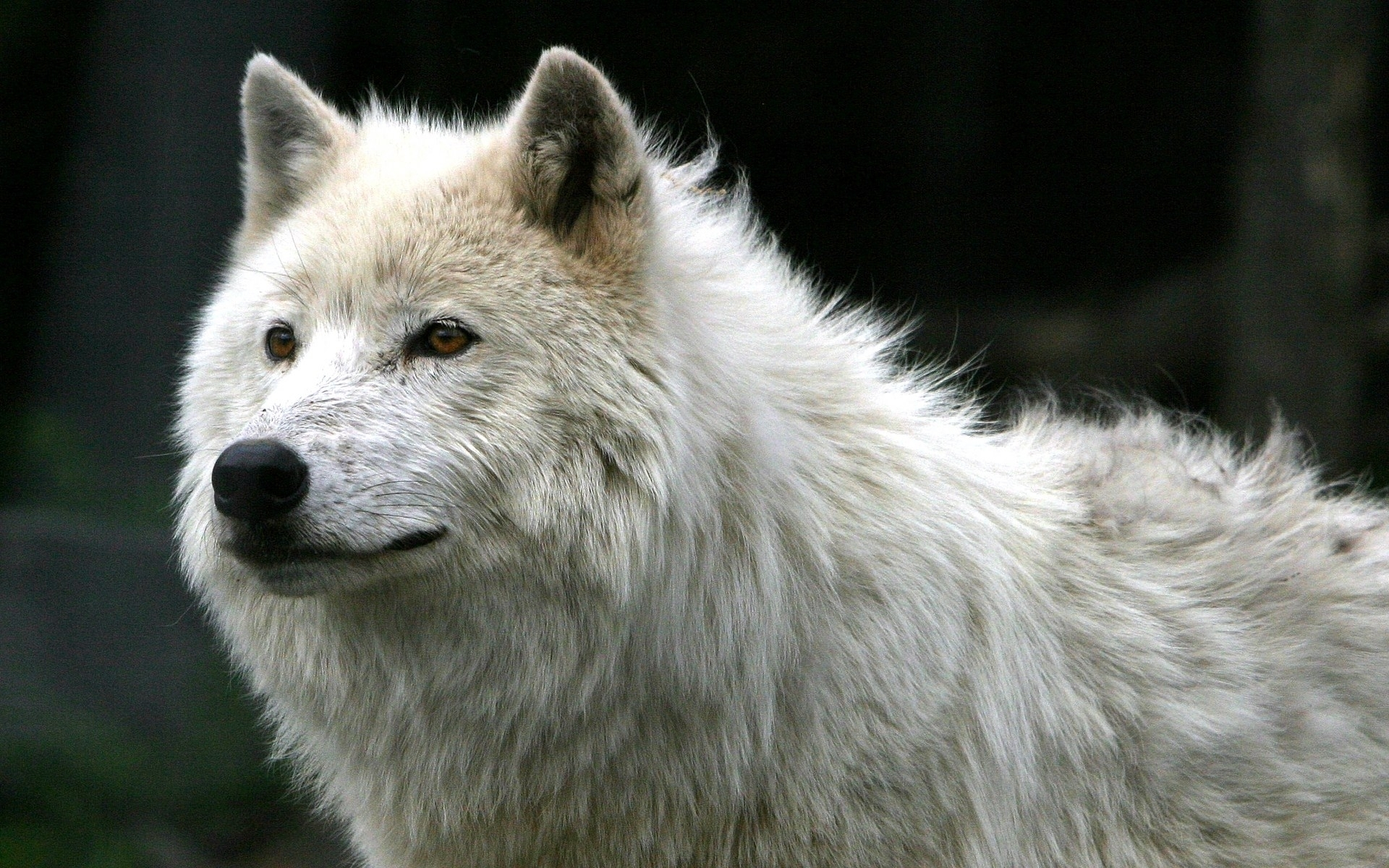 839 download wallpaper Animals, Wolfs screensavers and pictures for free