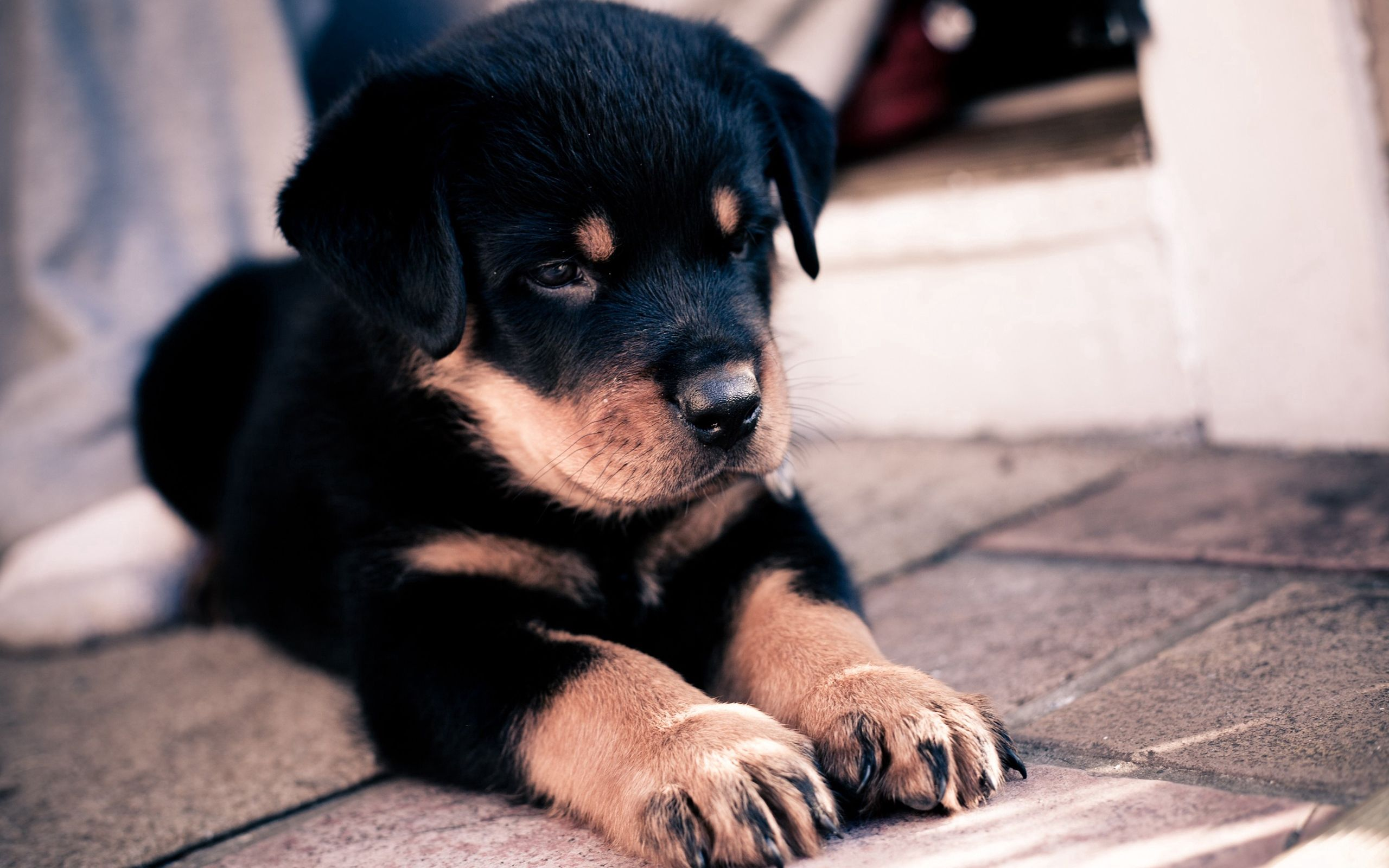 97556 download wallpaper Animals, Rottweiler, Puppy, Muzzle screensavers and pictures for free