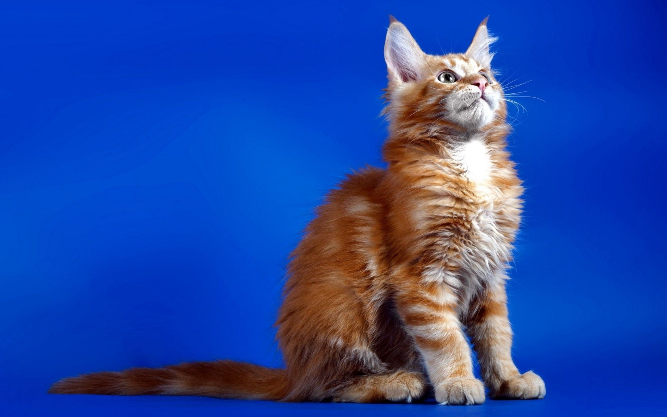 126804 Screensavers and Wallpapers Sit for phone. Download Animals, Sit, Cat, Fluffy, Kitty, Kitten pictures for free