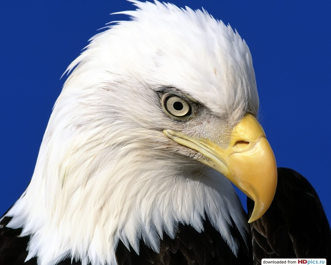 11773 download wallpaper Animals, Birds, Eagles screensavers and pictures for free