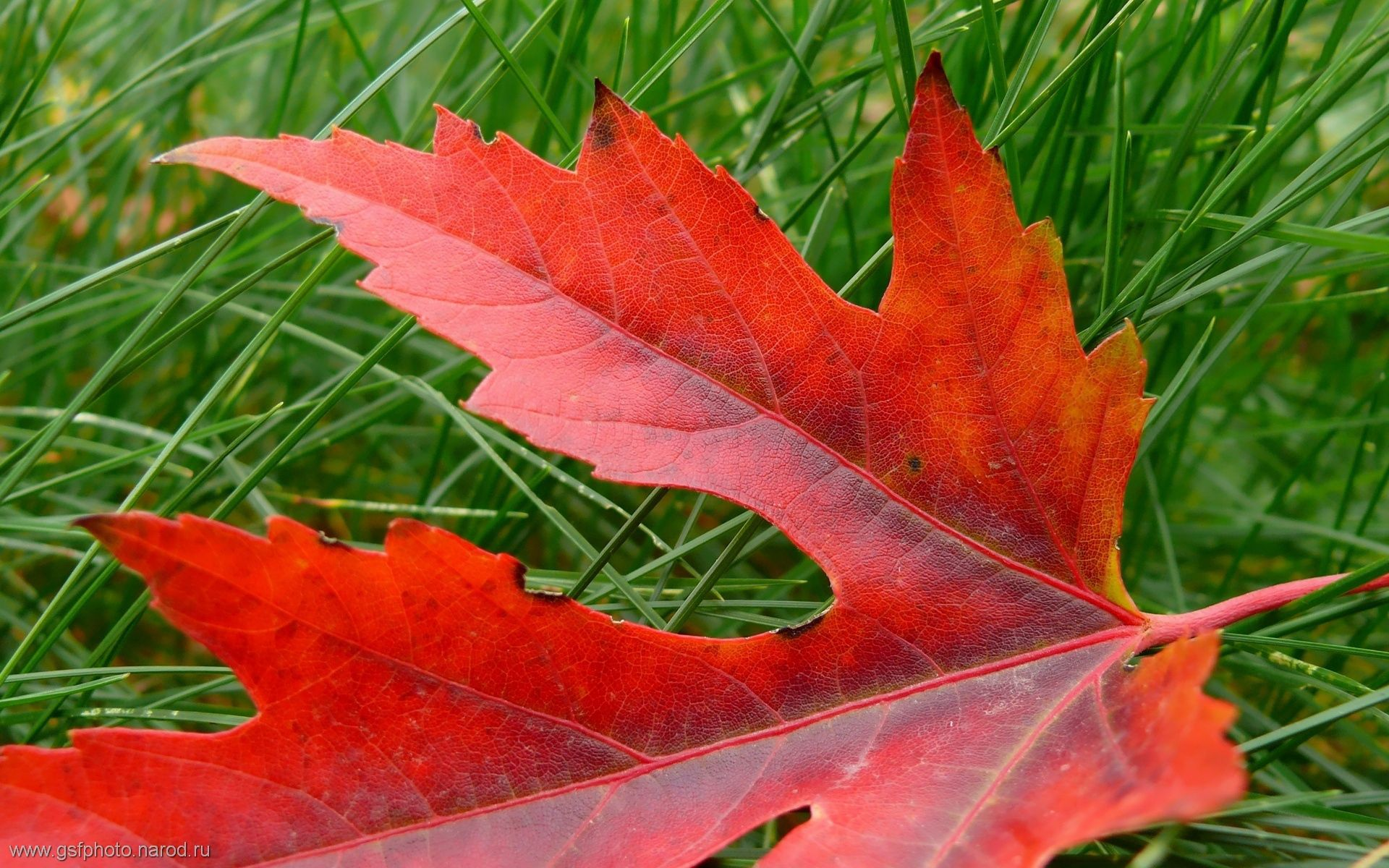 126057 download wallpaper Nature, Sheet, Leaf, Autumn, Maple, Dry, Fallen screensavers and pictures for free