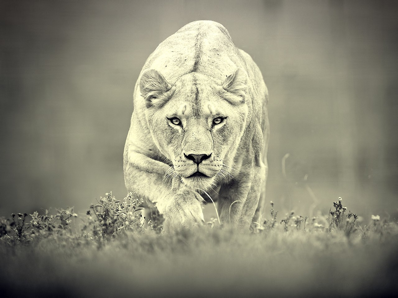 15807 download wallpaper Animals, Art Photo, Lions screensavers and pictures for free