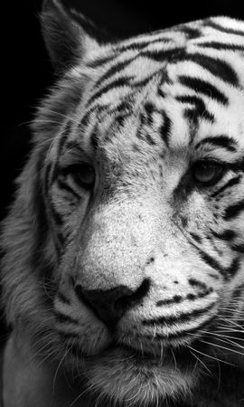19607 download wallpaper Animals, Tigers screensavers and pictures for free