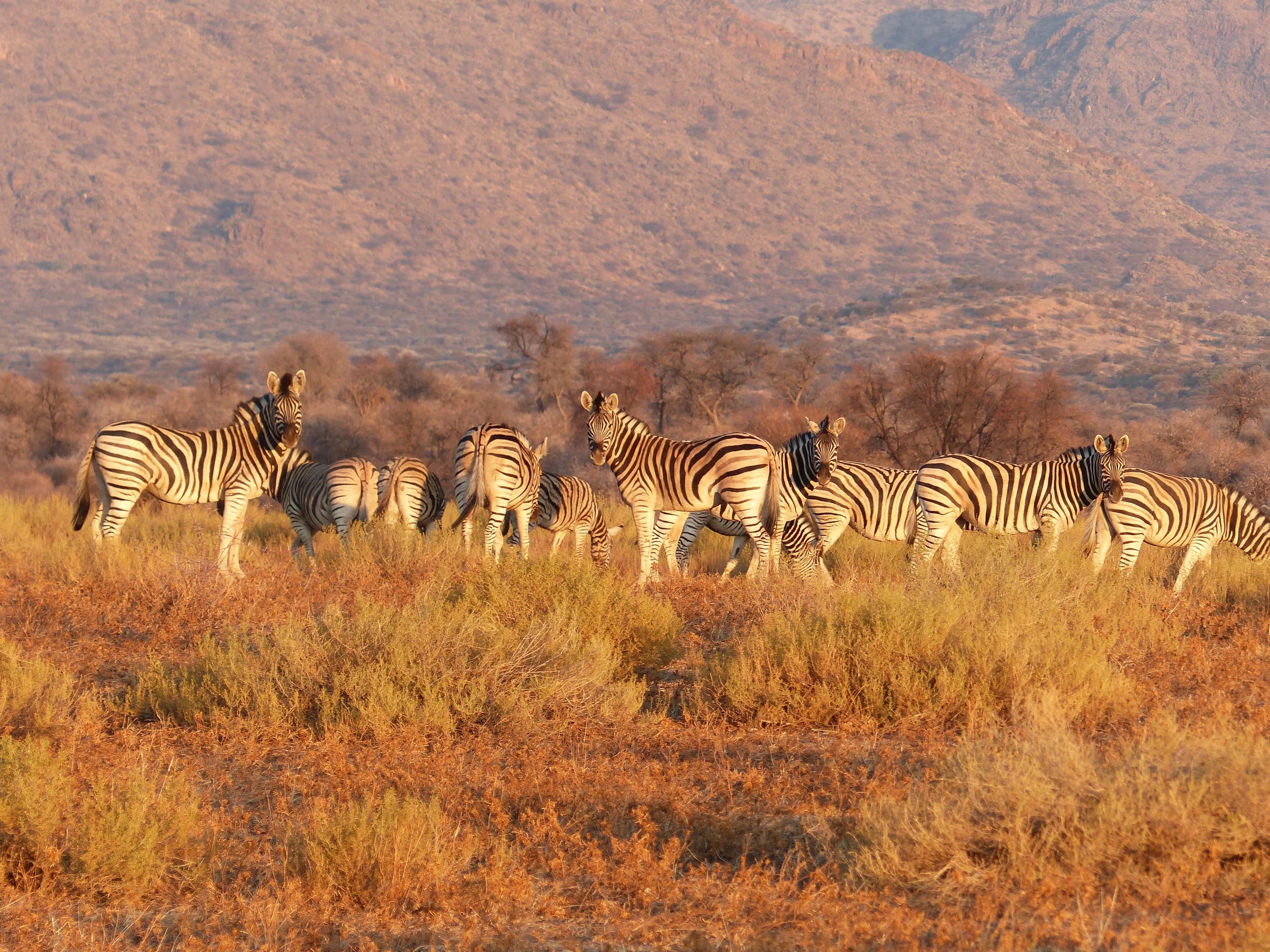 121159 download wallpaper Animals, Zebra, Herd, Savanna, Pasture screensavers and pictures for free