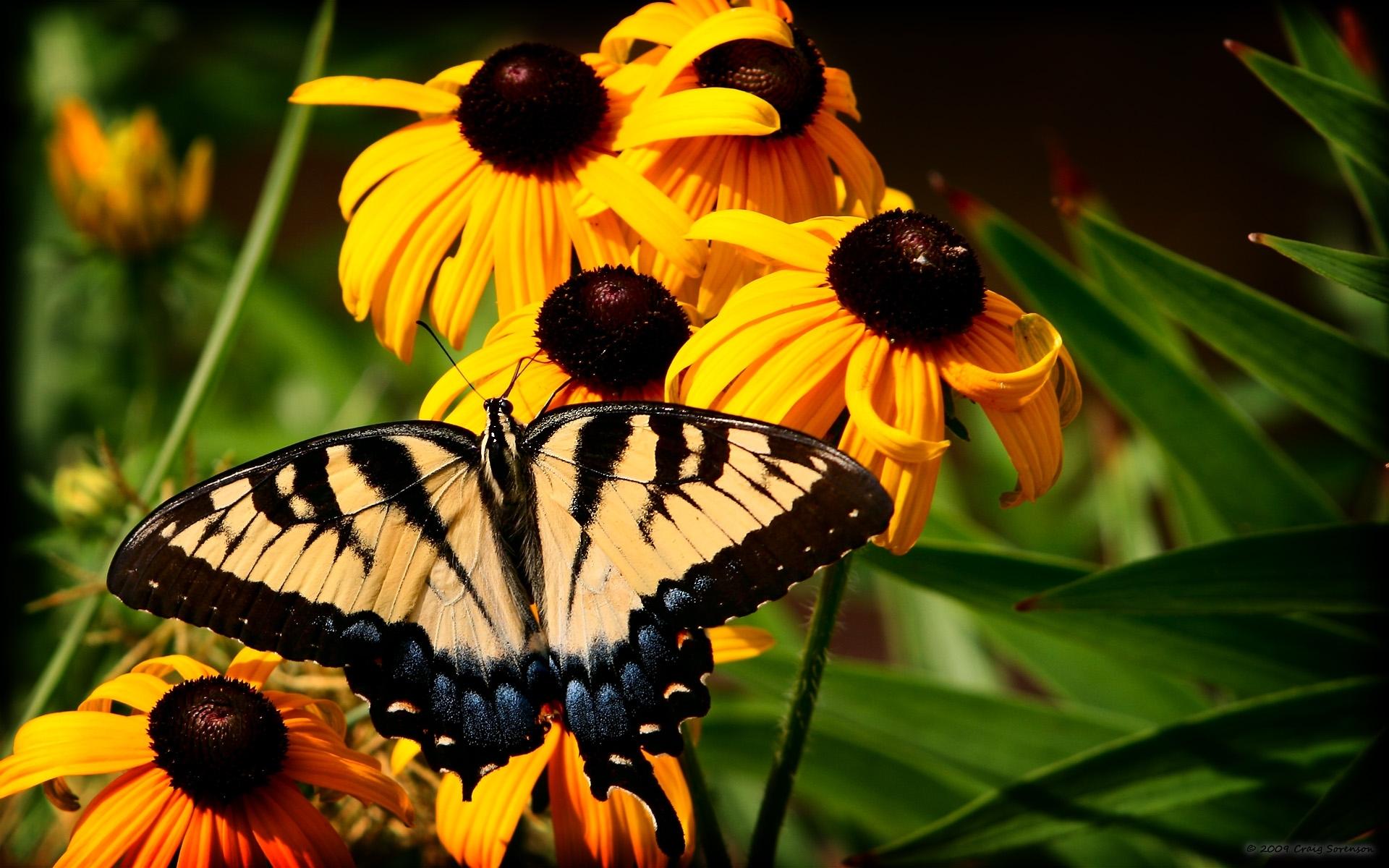 3144 скачать обои Бабочки, Цветы, Насекомые - заставки и картинки бесплатно