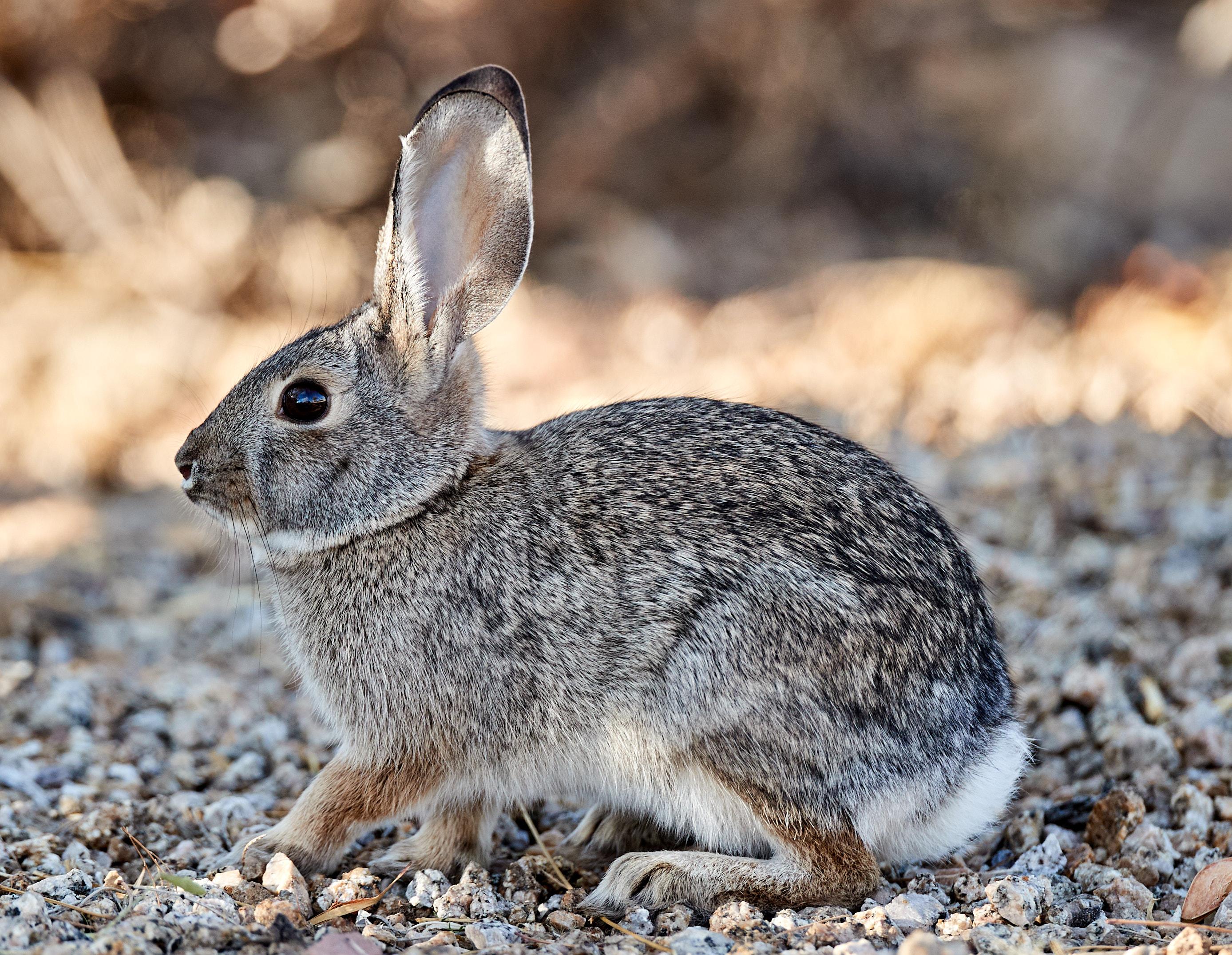 92830 скачать обои Животные, Кролик, Животное, Серый, Дикий - заставки и картинки бесплатно
