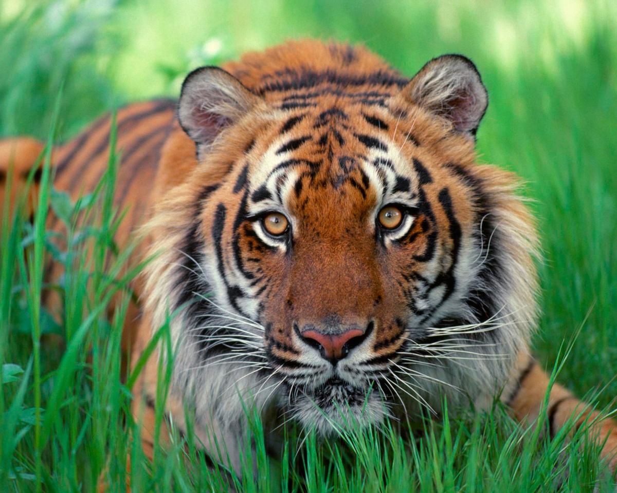 44802 descargar fondo de pantalla Animales, Tigres: protectores de pantalla e imágenes gratis