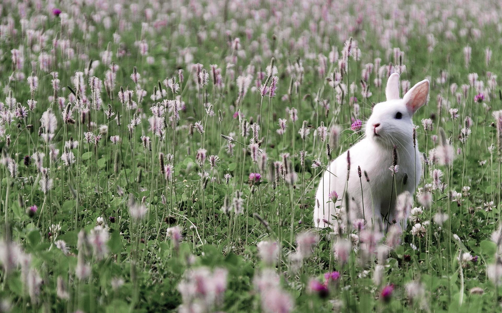 48191 download wallpaper Animals, Rabbits screensavers and pictures for free