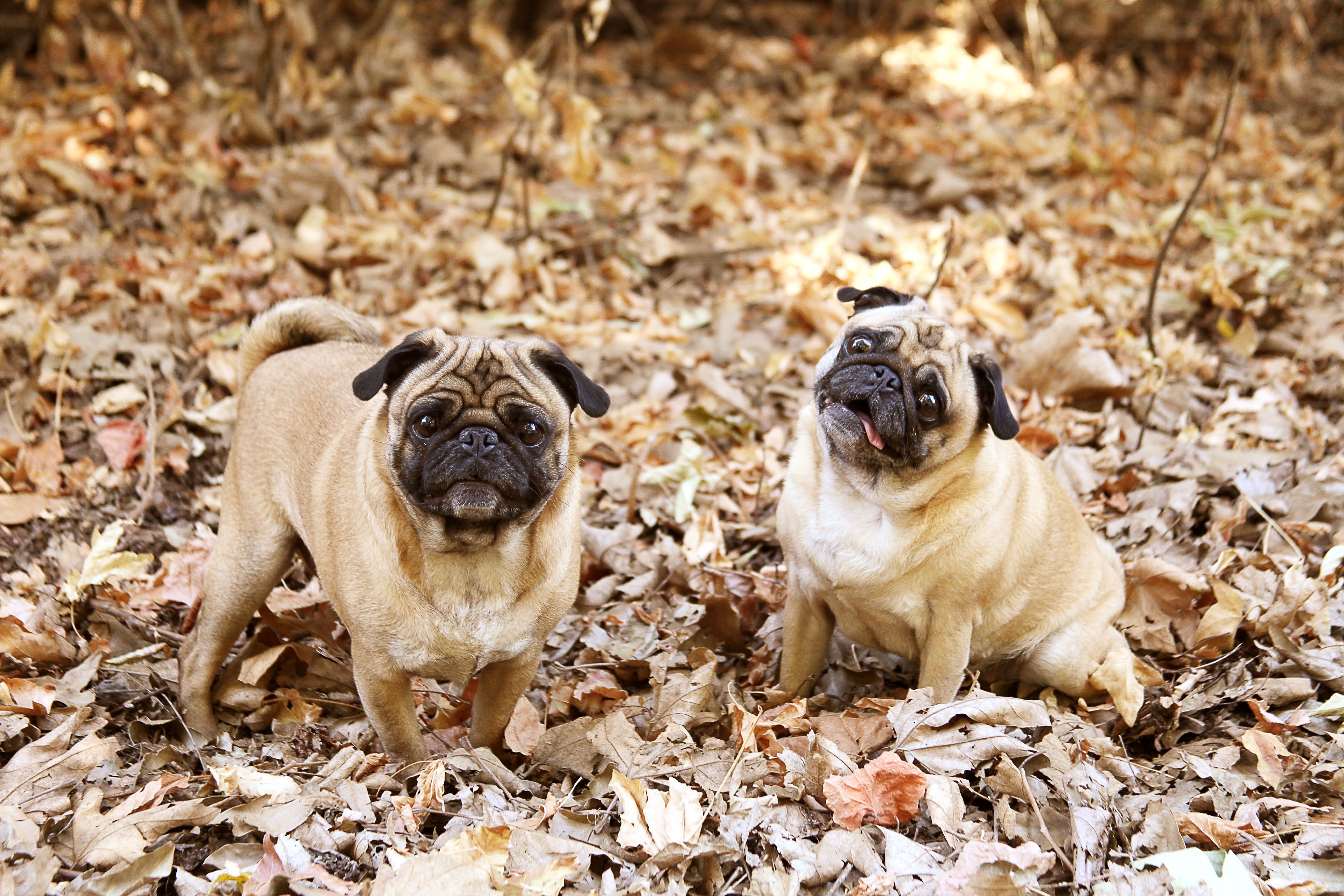 110017 download wallpaper Animals, Pug, Foliage, Dogs, Cool screensavers and pictures for free