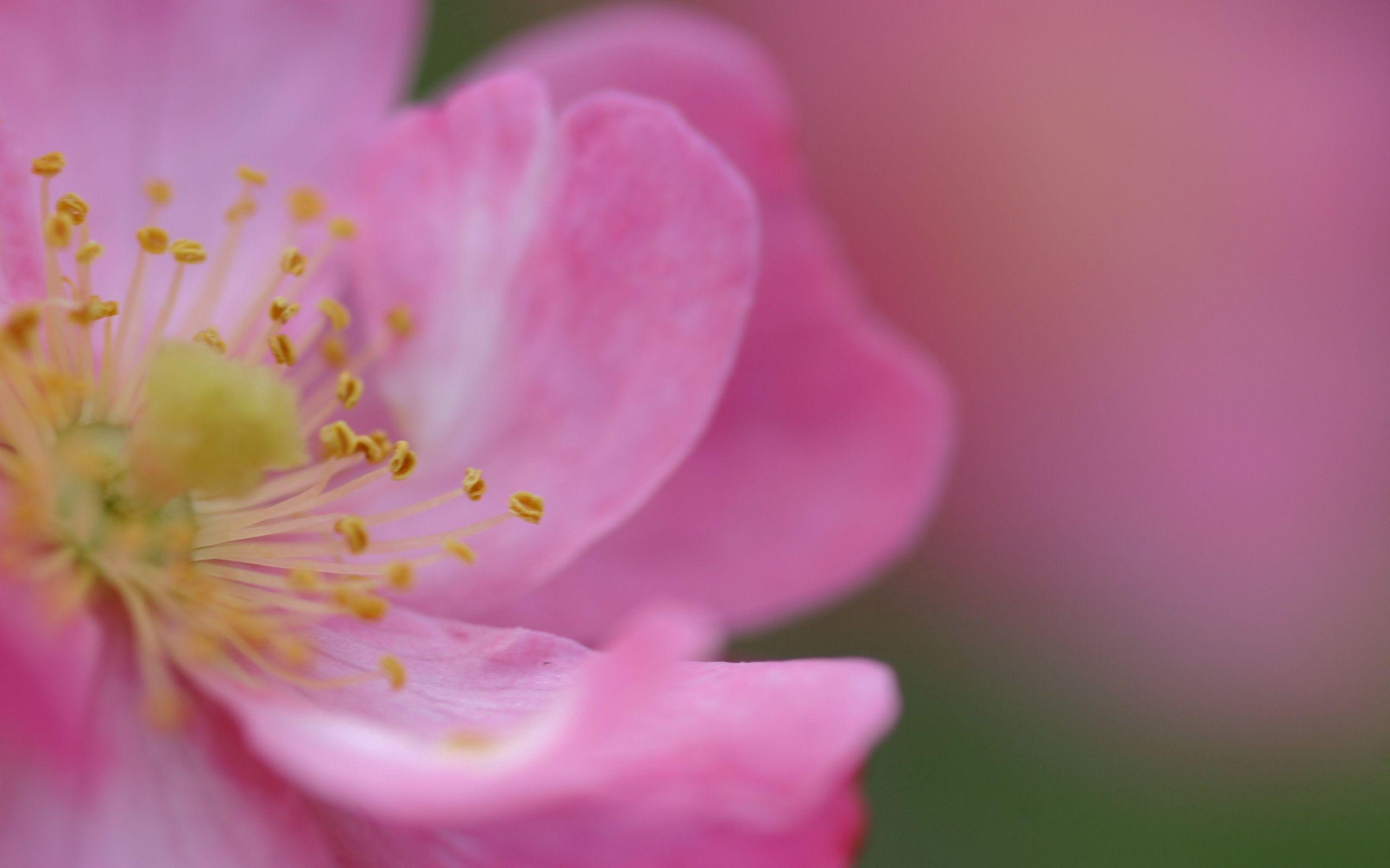 81946 скачать обои Шиповник, Цветок, Макро, Роза, Лепестки, Цвет, Розовые - заставки и картинки бесплатно