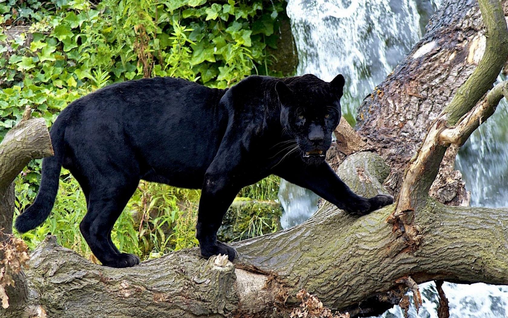 29506 скачать обои Пантеры, Животные - заставки и картинки бесплатно