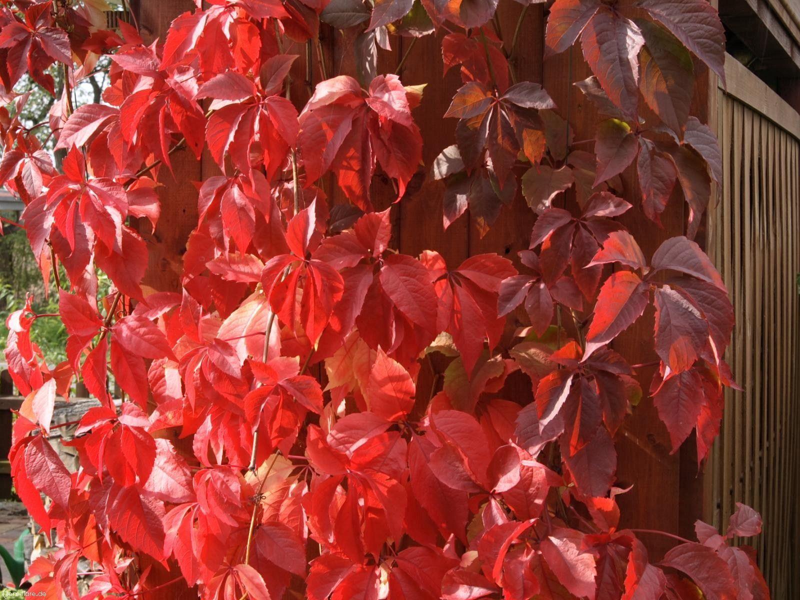 104246 скачать обои Природа, Листья, Изгородь, Растение, Забор - заставки и картинки бесплатно