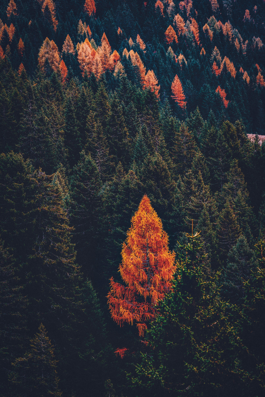 116883 скачать обои Природа, Лес, Хвойный, Деревья, Сосны - заставки и картинки бесплатно