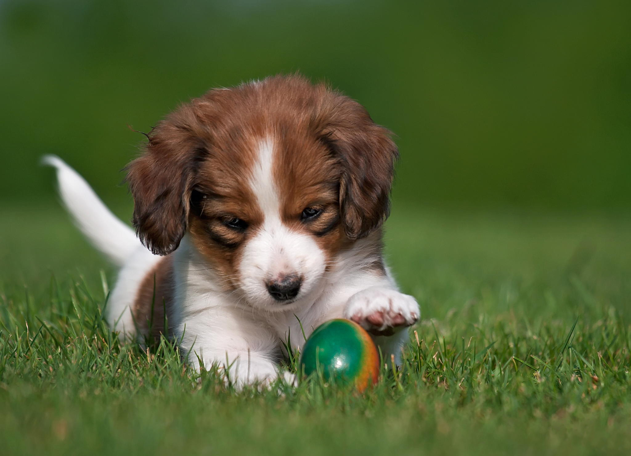 91396 download wallpaper Animals, Koikerhondje, Coykerhondie, Dog, Puppy, Ball, Playful screensavers and pictures for free