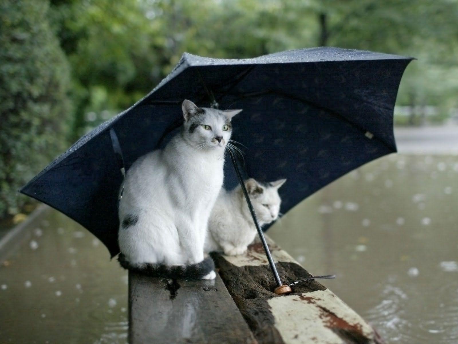 Handy-Wallpaper Tiere, Katzen, Paar, Gefleckt, Regenschirm, Entdeckt kostenlos herunterladen.