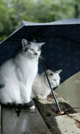 155498 download wallpaper Animals, Cats, Couple, Pair, Umbrella, Spotted screensavers and pictures for free
