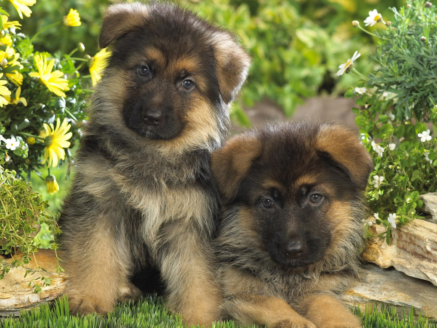 34896 download wallpaper Animals, Dogs screensavers and pictures for free
