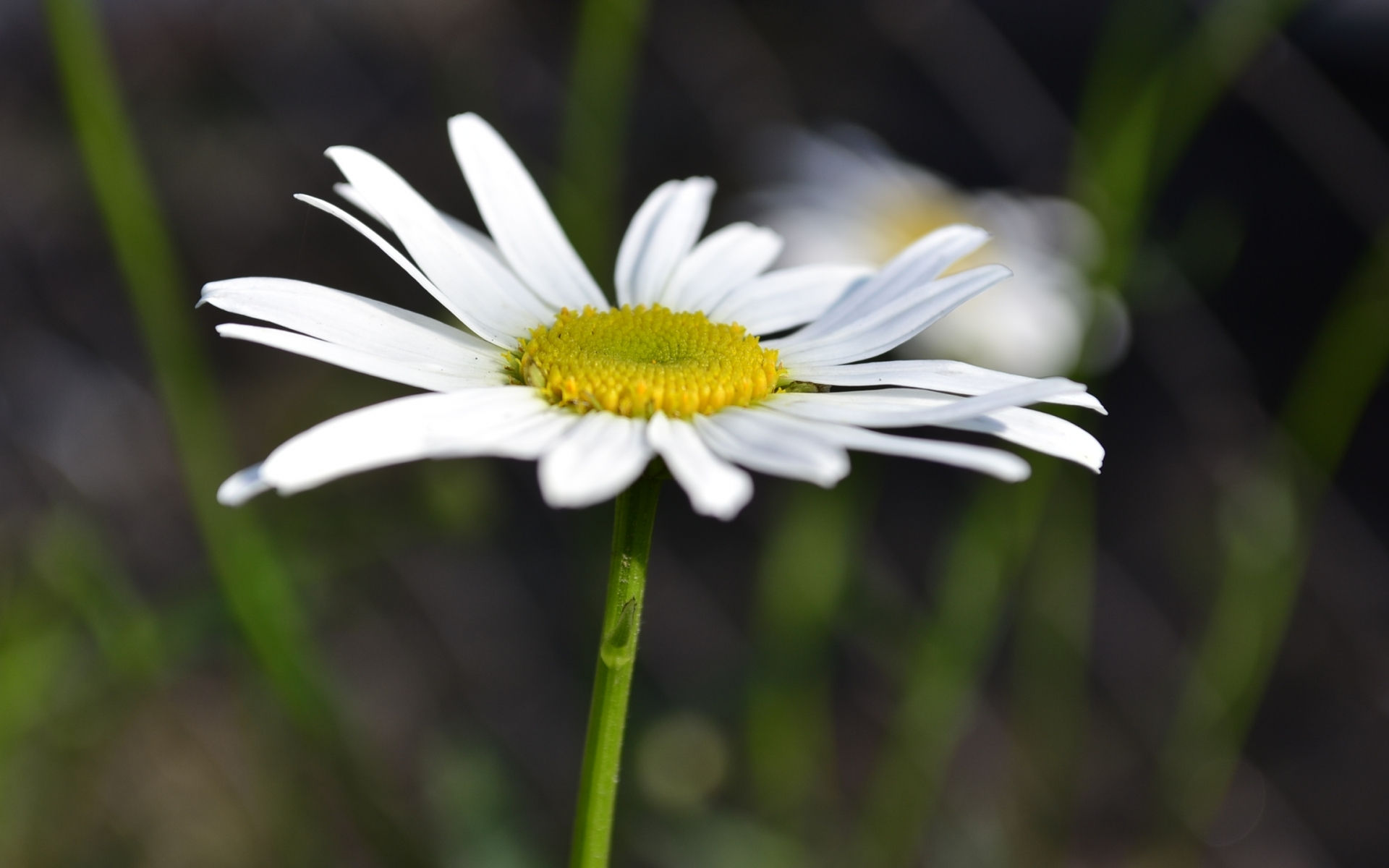 44344 download wallpaper Plants, Flowers, Camomile screensavers and pictures for free