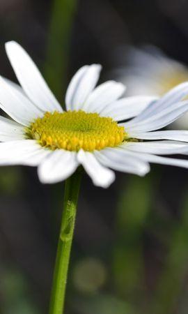 44344 télécharger le fond d'écran Plantes, Fleurs, Camomille - économiseurs d'écran et images gratuitement