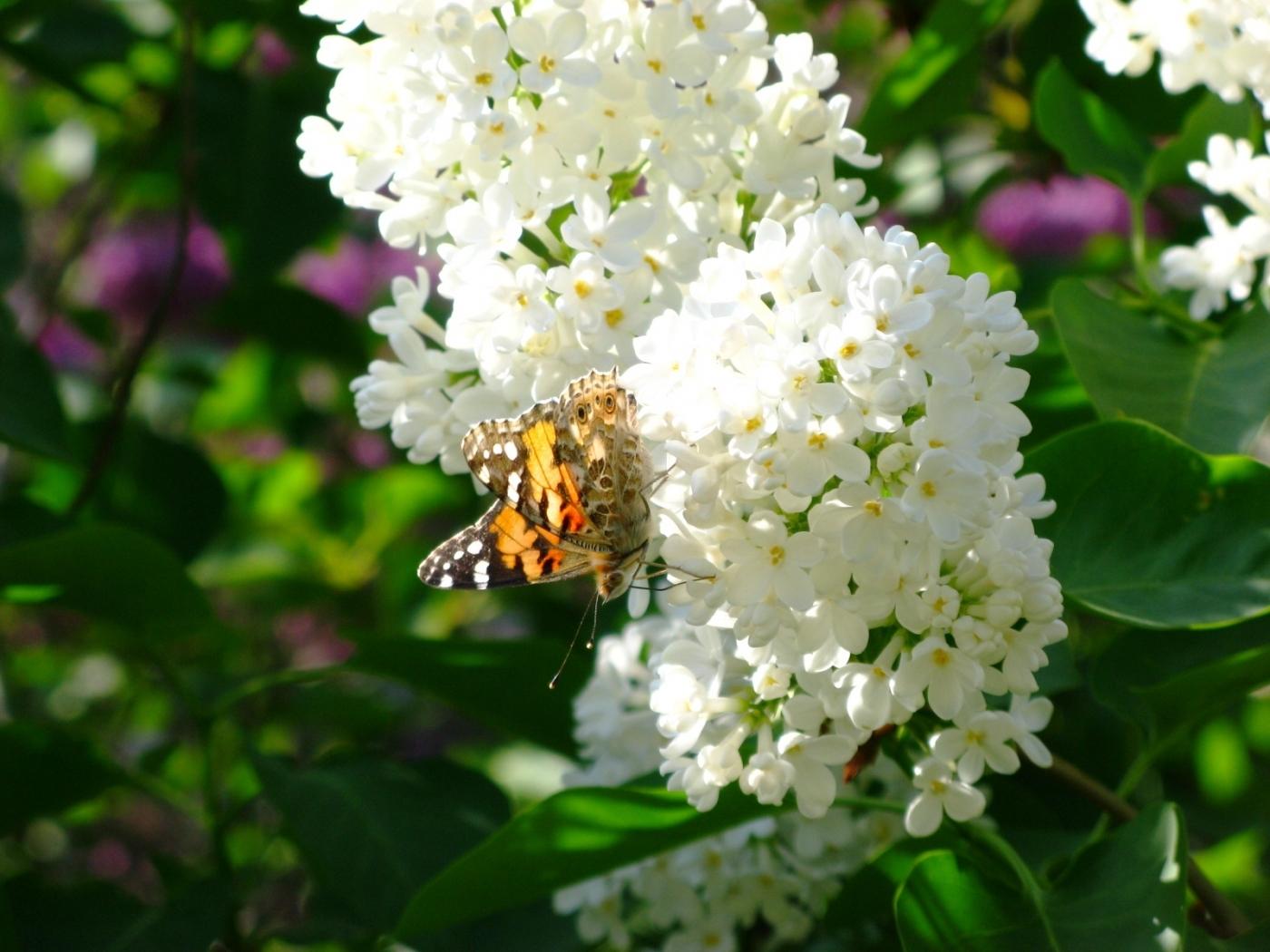 29784 Hintergrundbild herunterladen Schmetterlinge, Insekten - Bildschirmschoner und Bilder kostenlos