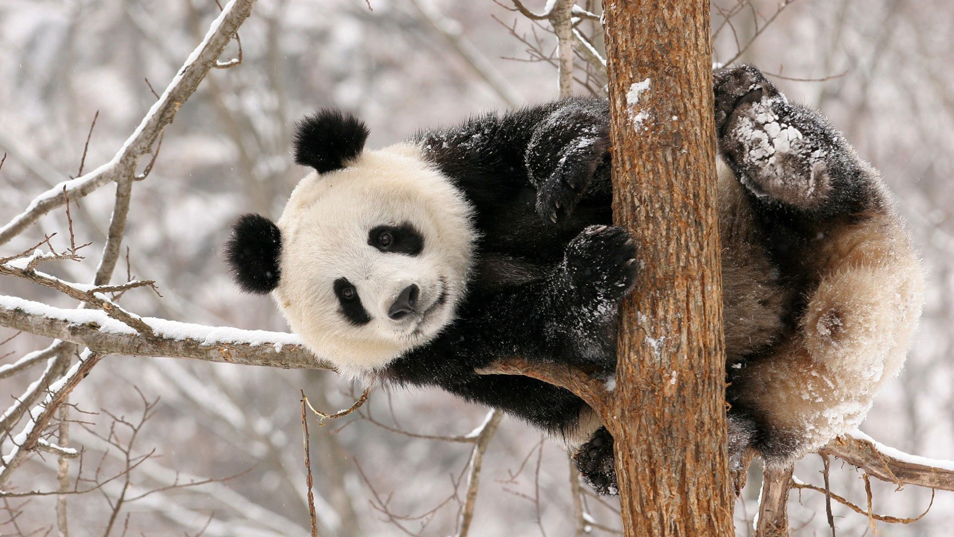 129049 Screensavers and Wallpapers Sit for phone. Download Animals, Snow, Sit, Branch, Panda pictures for free