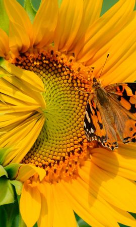 21659 скачать обои Растения, Бабочки, Цветы, Насекомые, Подсолнухи - заставки и картинки бесплатно