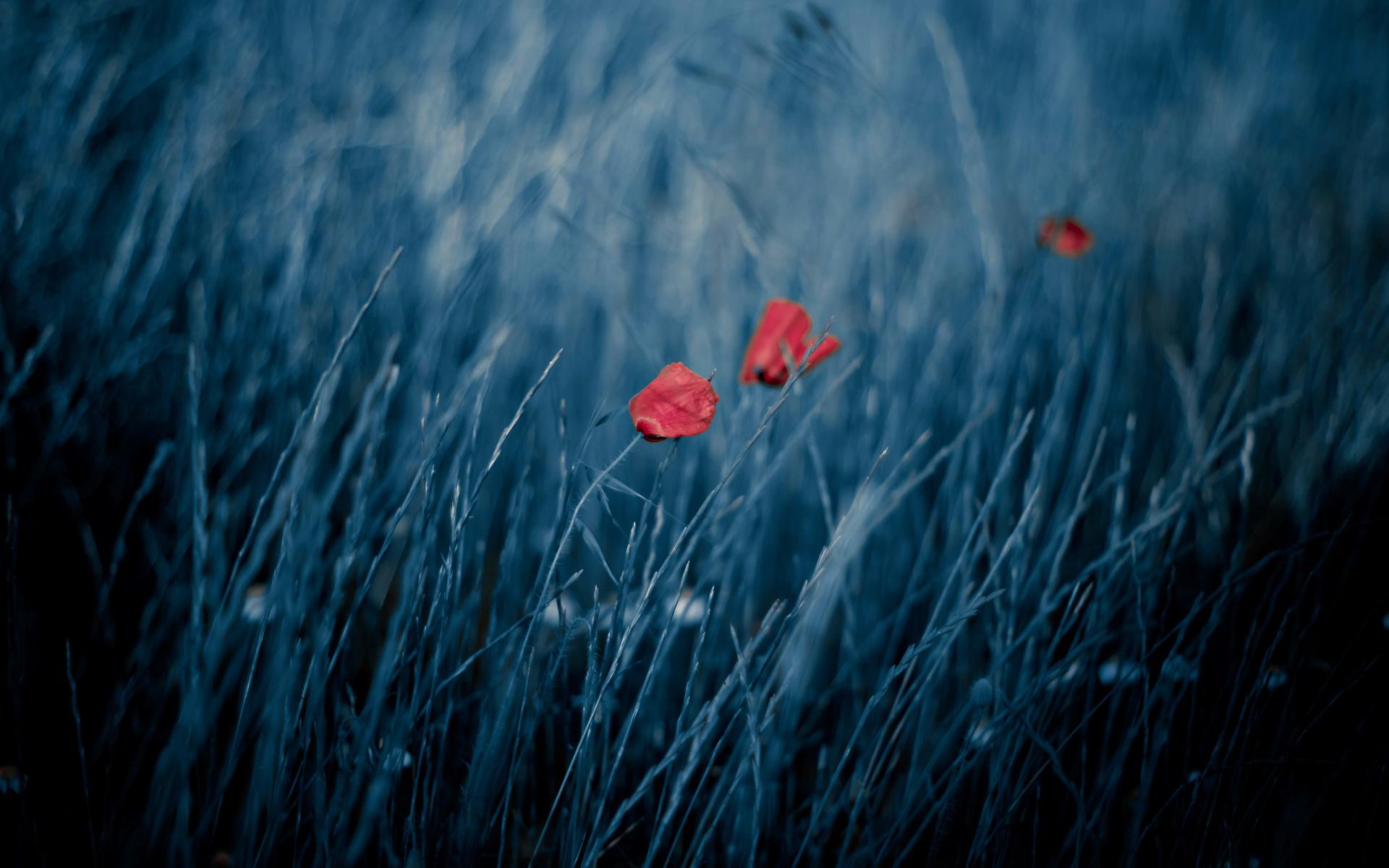 30873 скачать обои Растения, Цветы, Маки - заставки и картинки бесплатно