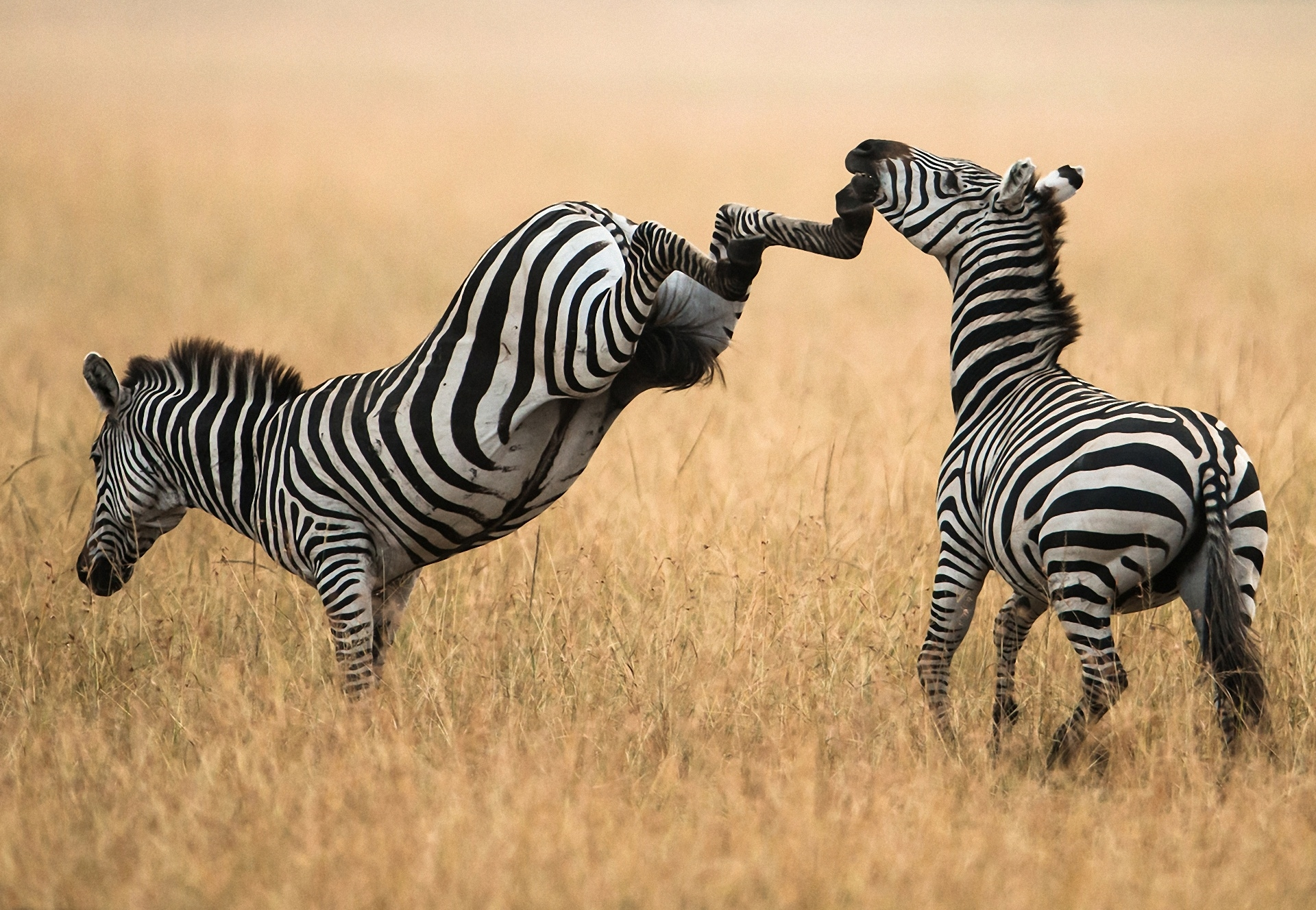 144894 download wallpaper Animals, Grass, Stroll, Couple, Pair, Zebra screensavers and pictures for free