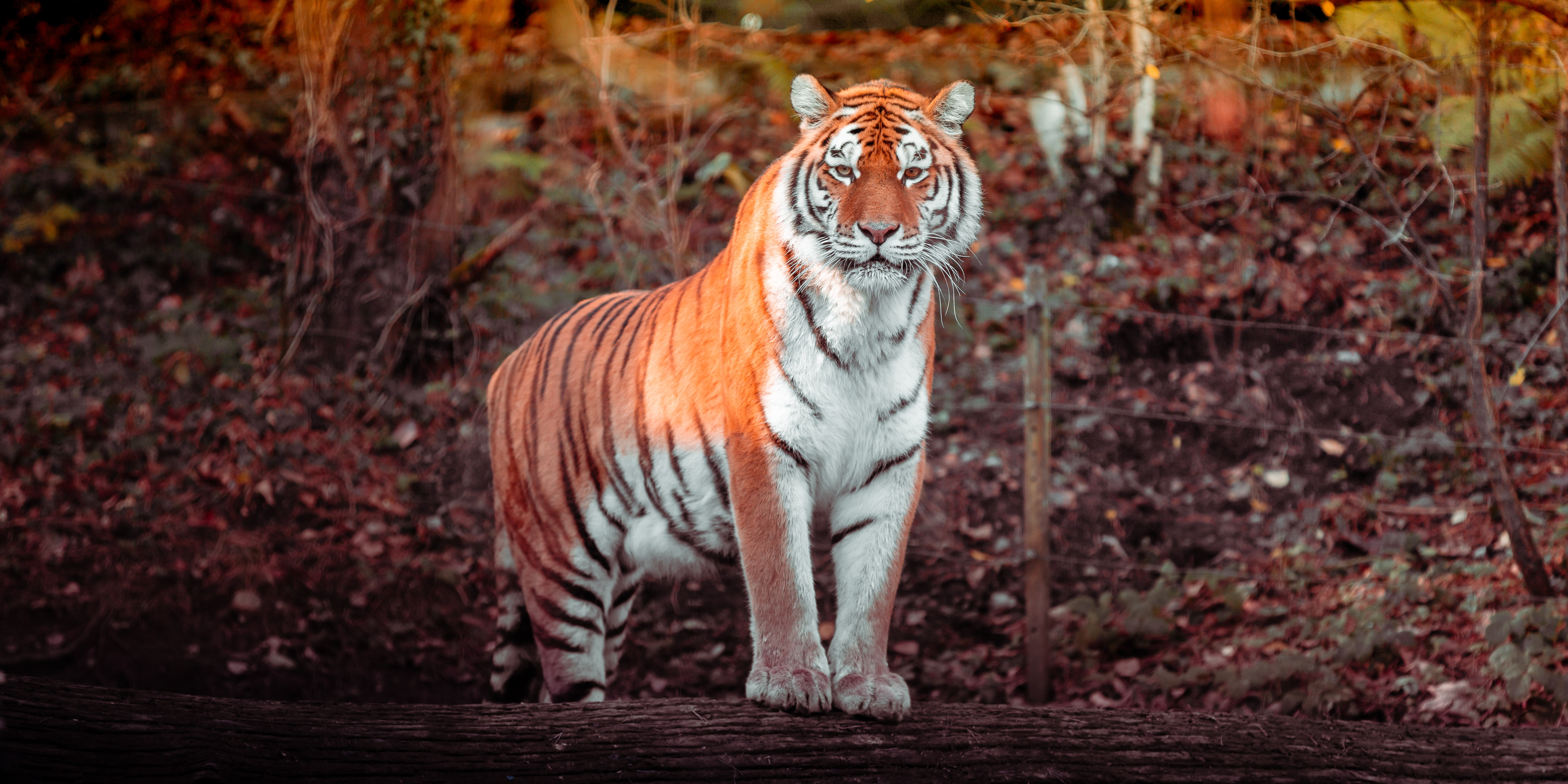 141115 download wallpaper Animals, Tiger, Animal, Predator, Big Cat screensavers and pictures for free