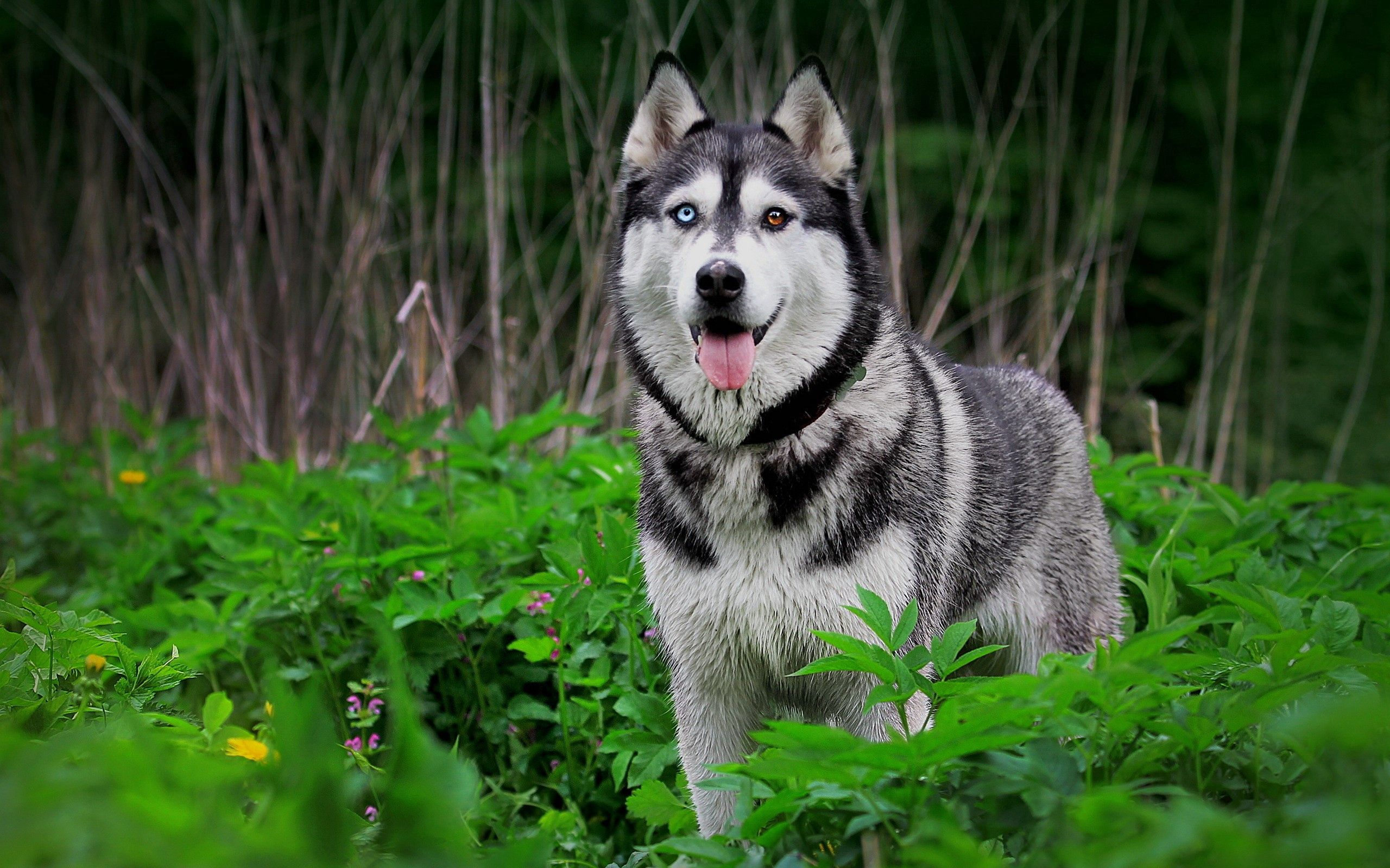 128664 download wallpaper Animals, Dog, Husky, Haska, Grass, Hunting, Hunt screensavers and pictures for free