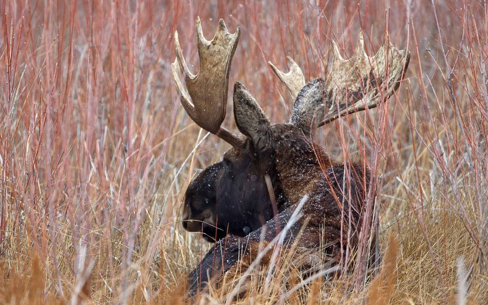 144793 download wallpaper Animals, Elk, Horns, Nature screensavers and pictures for free