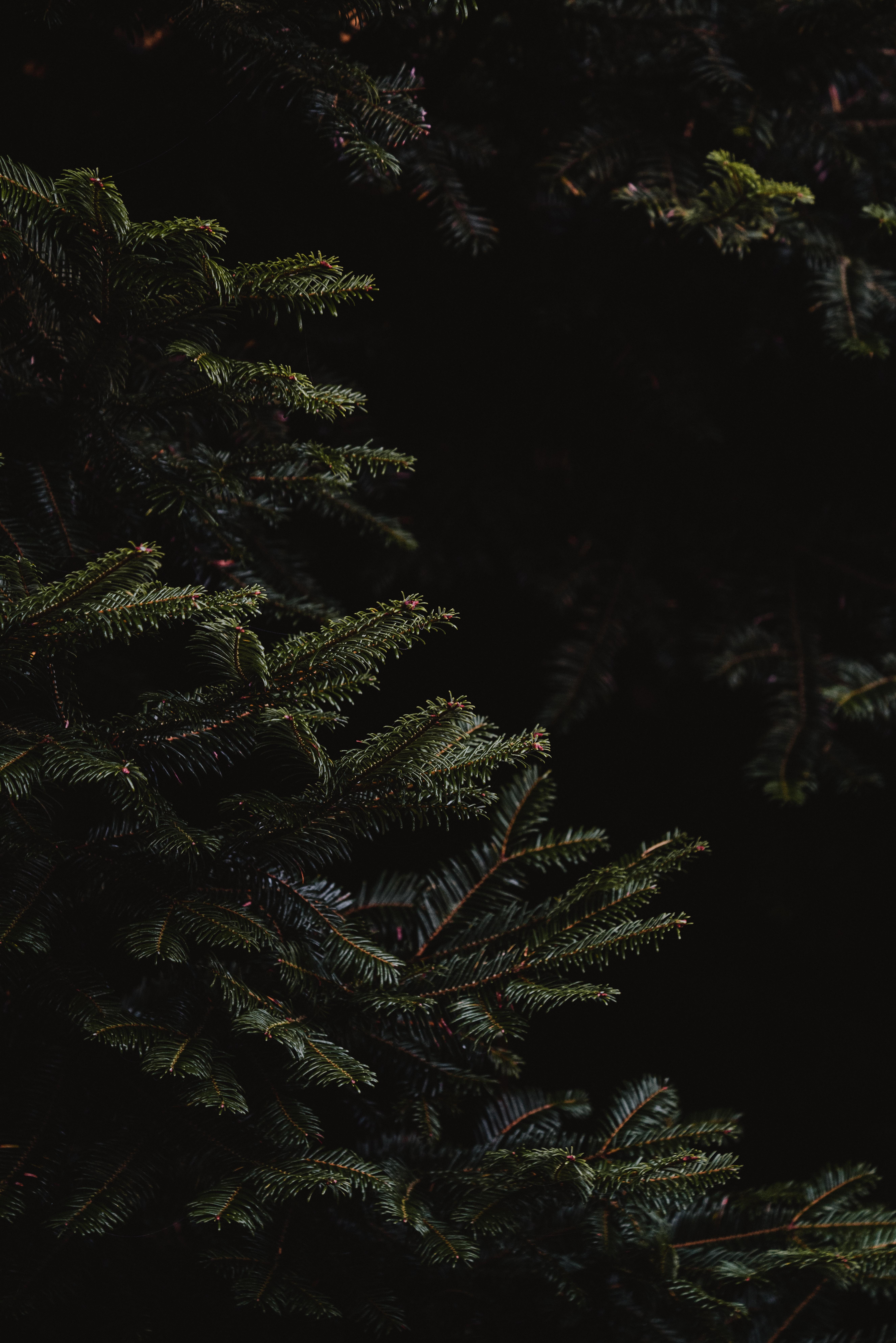 157621 Заставки и Обои Иголки на телефон. Скачать Иголки, Темные, Темный, Ветки, Ель картинки бесплатно